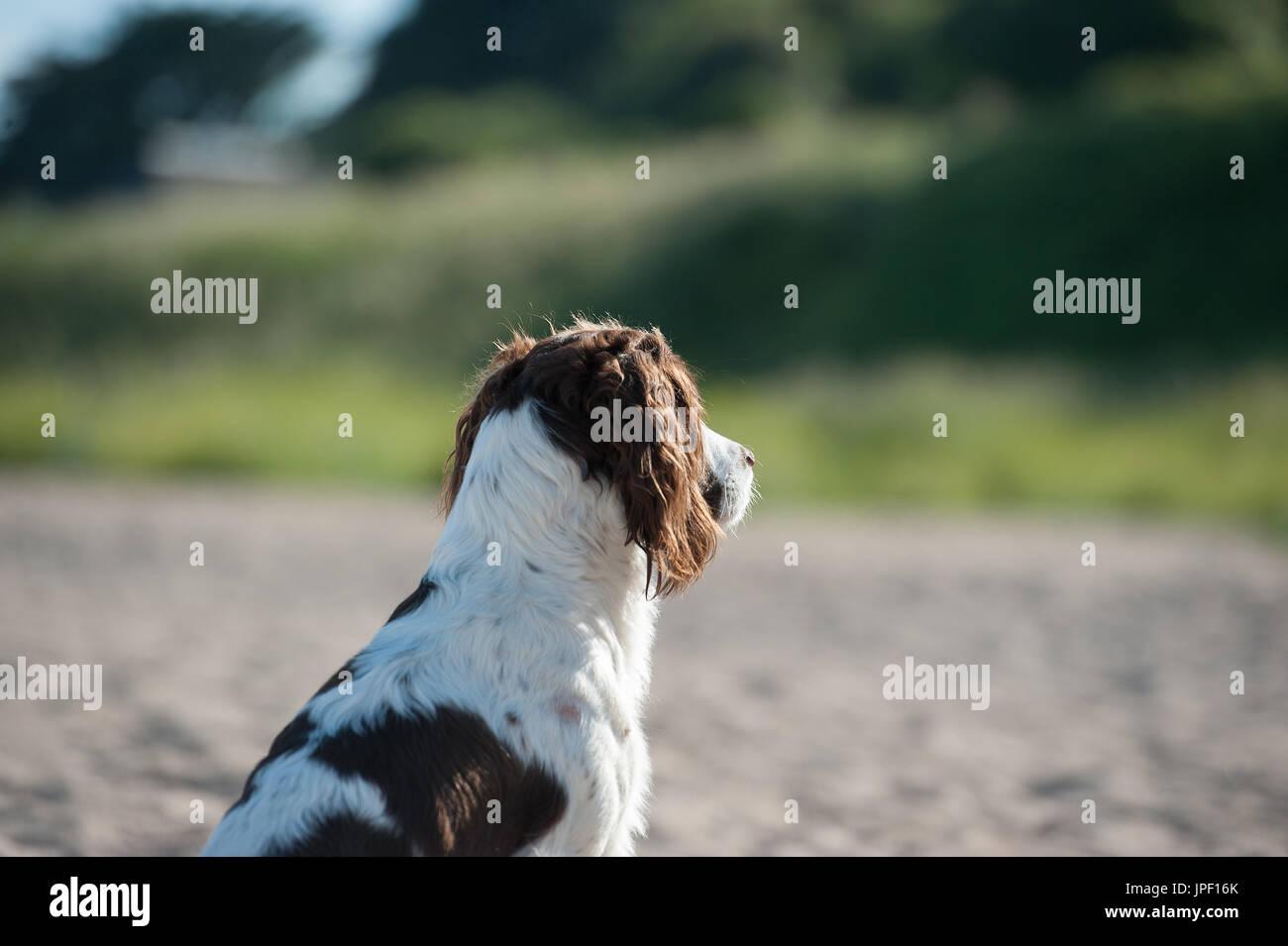 Springer spaniel on beach - Stock Image