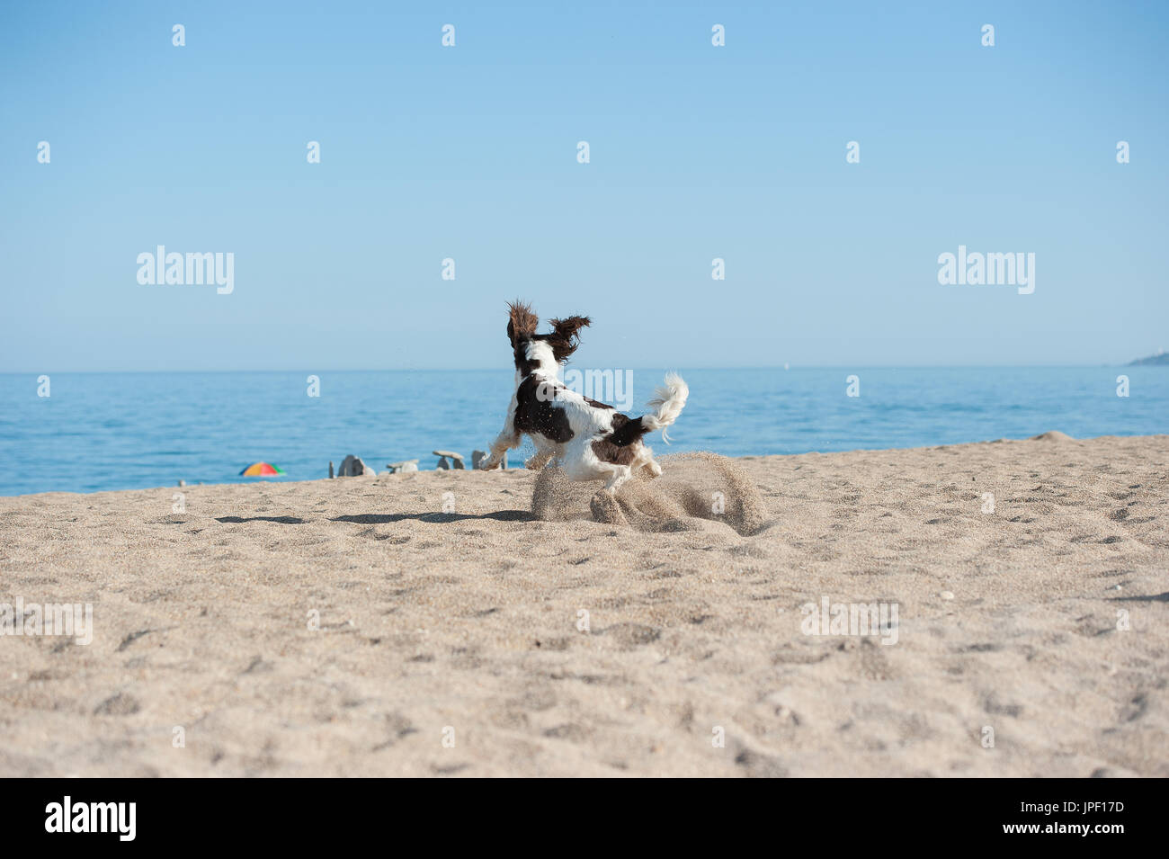 Springer spaniel on a beach - Stock Image