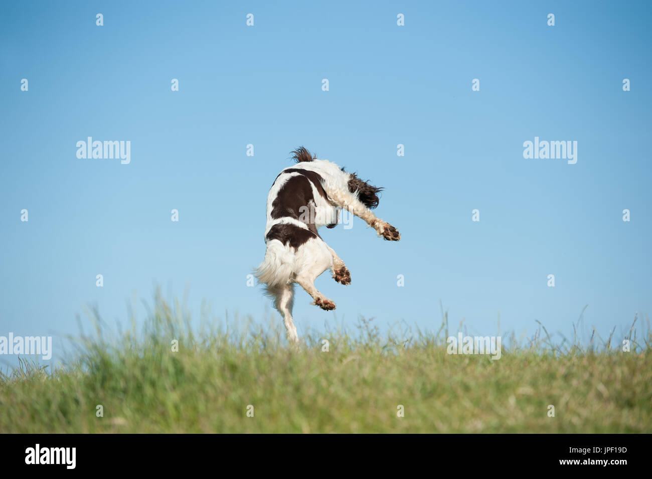 Springer spaniel leaping in the air - Stock Image
