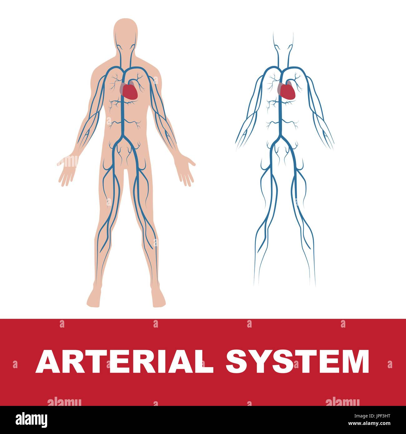 vector illustration of human arterial system isolated on white. Heart and main arteries of human body. Both, with body shape and without. - Stock Image