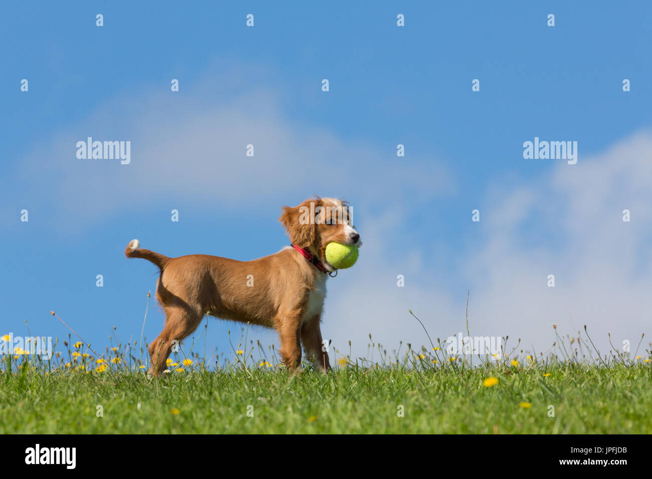 Gravesend, Kent, United Kingdom. 1st August, 2017. Cockapoo puppy Pip plays in the sunshine in a park in the riverside town of Gravesend in Kent. Rob Powell/Alamy Live News - Stock Image