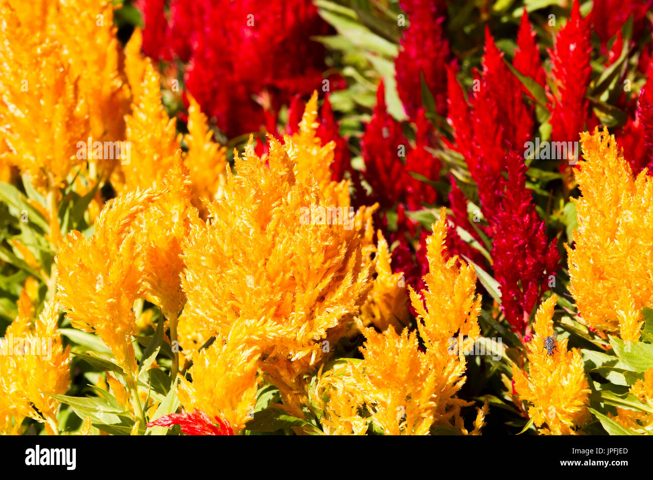 Abington Park, Northampton, Weather, 1st August 2017. Bright sunshine this morning with light clouds now and again forecast for the day. A colourful flower bed of Celosia argentea var.  plumosa Century Series in full bloom in the top park making a nice splash of colour. Credit: Keith J Smith./Alamy Live News - Stock Image