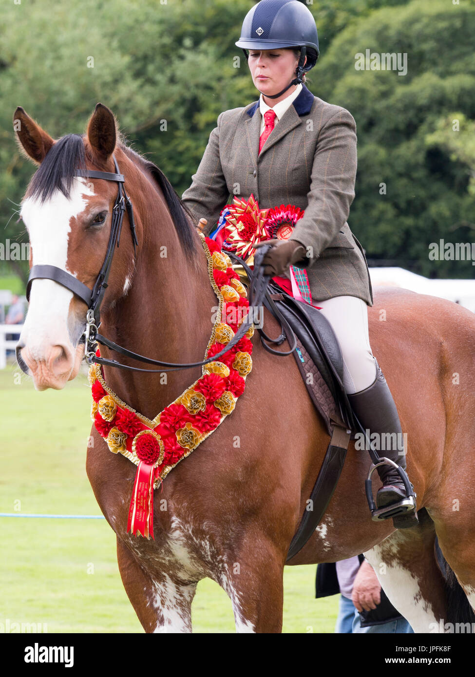 Turriff, Scotland, UK. 31st July, 2017. Prize winning Clydesdale horse in the Ridden Clydesdale section Credit: AC Images/Alamy Live News - Stock Image