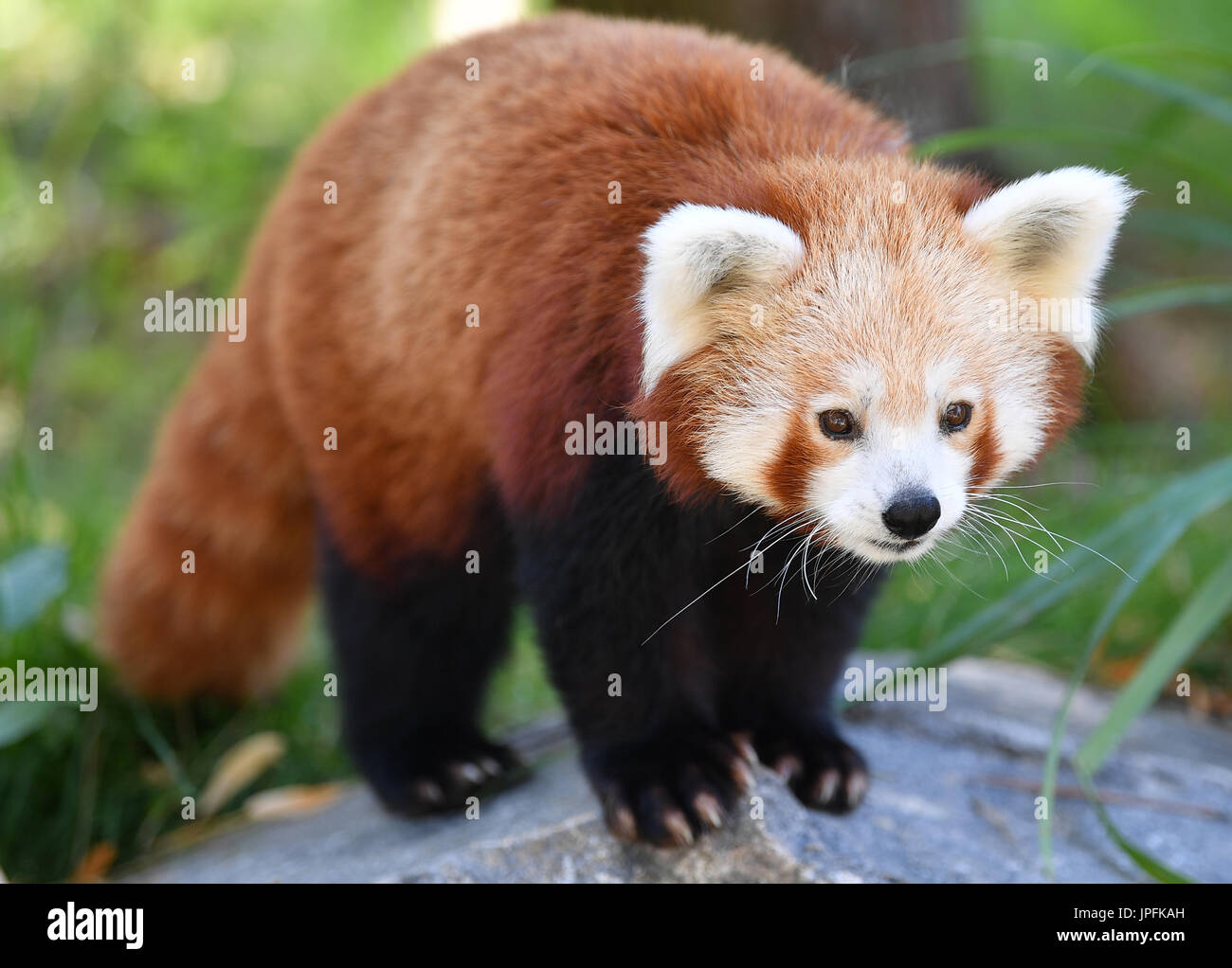 Leipzig, Germany. 1st Aug, 2017. A red panda in the newly opened Himalayan landscape enclosure in the zoo in Leipzig, Germany, 1 August 2017. The landscape with its sandy ground and boulders provides a perfect environment for the endangered red panda and snow leopard. Photo: Hendrik Schmidt/dpa-Zentralbild/dpa/Alamy Live News - Stock Image