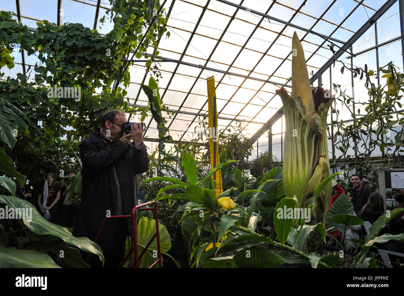 Edinburgh, UK. 01st Aug, 2017. An Amorphophallus, the worlds smelliest plant, blooms at the Royal Botanic Garden. Credit: Steven Scott Taylor/Alamy Live News - Stock Image