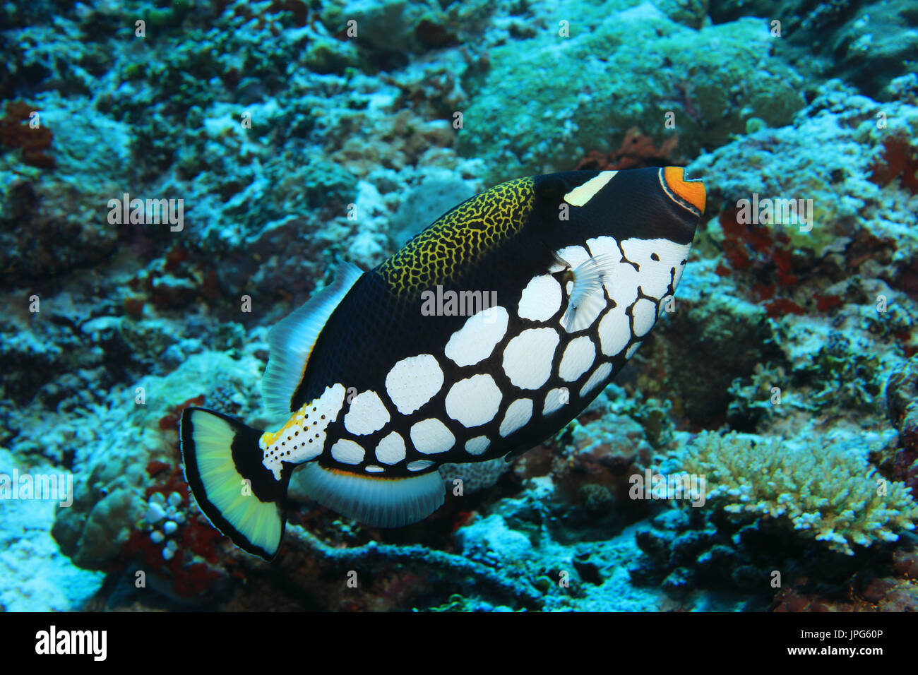 Clown triggerfish (Balistoides conspicillum) underwater in the coral reef of the indian ocean - Stock Image