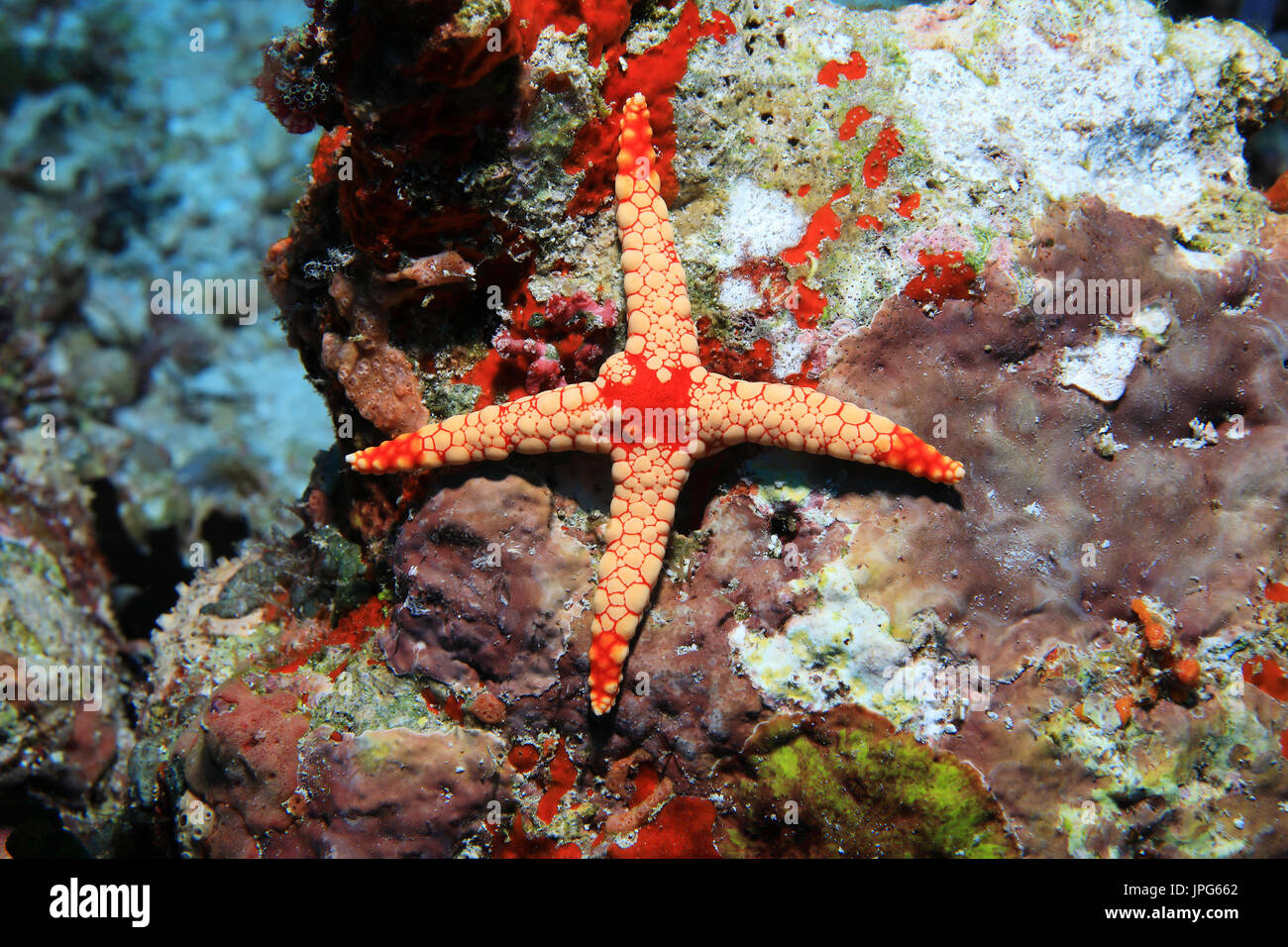 Abnormal starfish (Fromia nodosa) with only four arms - Stock Image