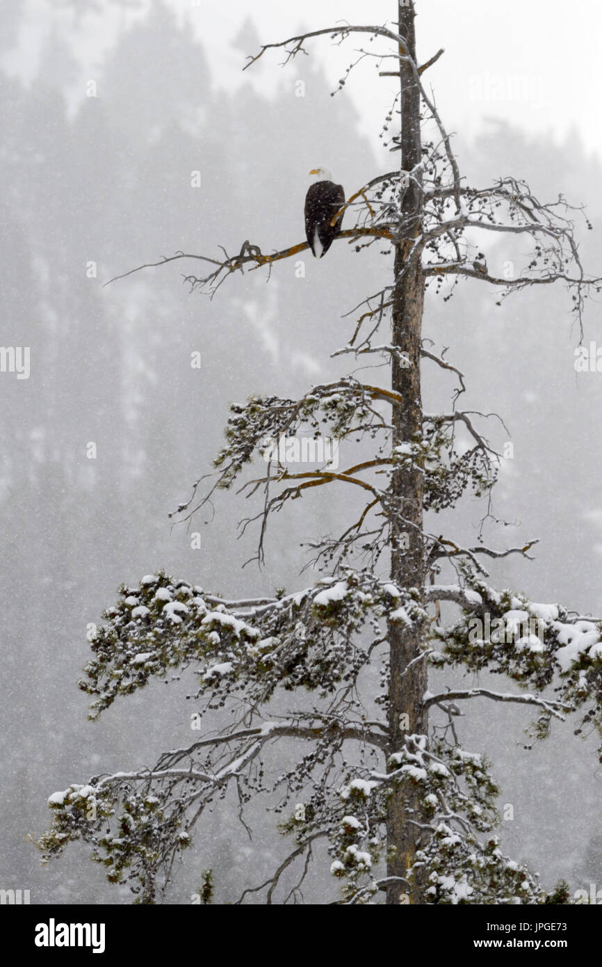 Bald eagle (Haliaeetus leucocephalus) perched on a frosted pine tree during winter, Yellowstone National Park, Wyoming, Montana, USA. - Stock Image