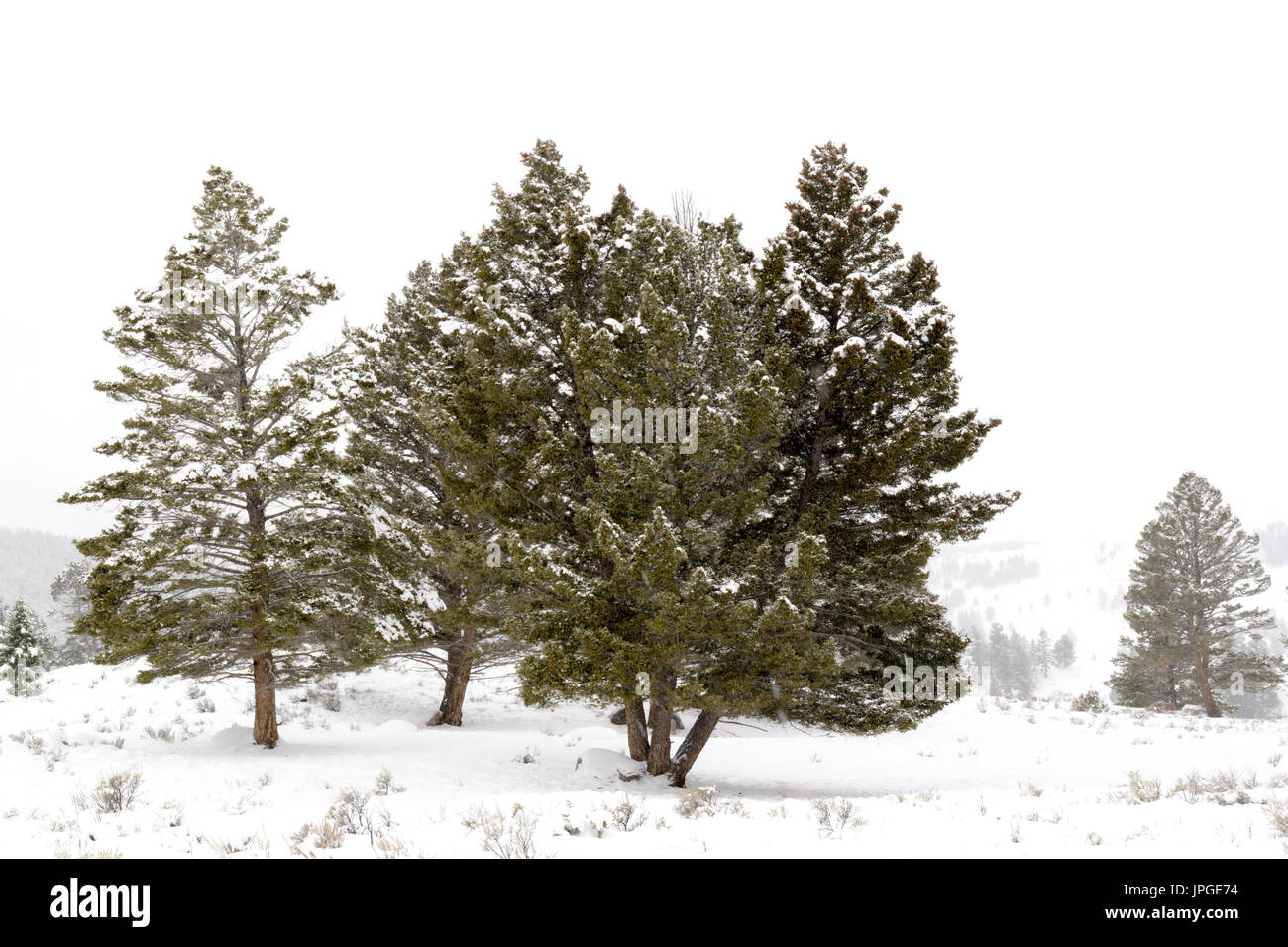 Landscape with pine trees during blizzard in winter, Yellowstone national park, Wyoming, Montana, USA. - Stock Image