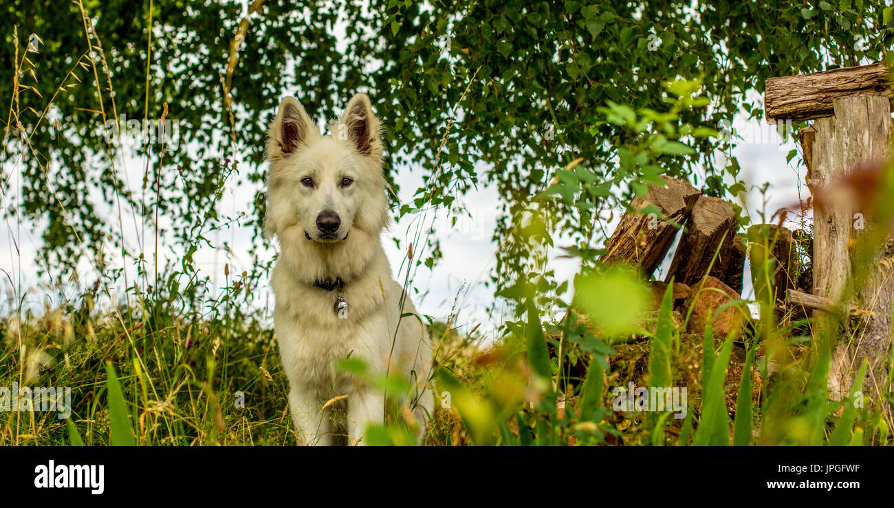A white dog (a berger blanc suisse or white shepherd) sits amongst the undergrowth looking alert. - Stock Image