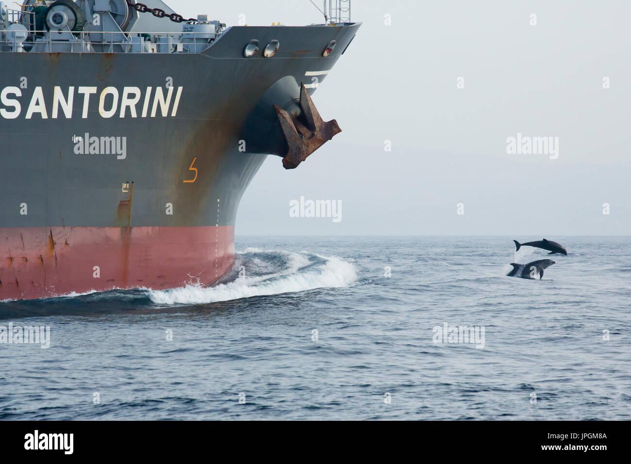 Common Bottlenose Dolphin (Tursiops truncates) bowriding in the Strait of Gibraltar - Stock Image
