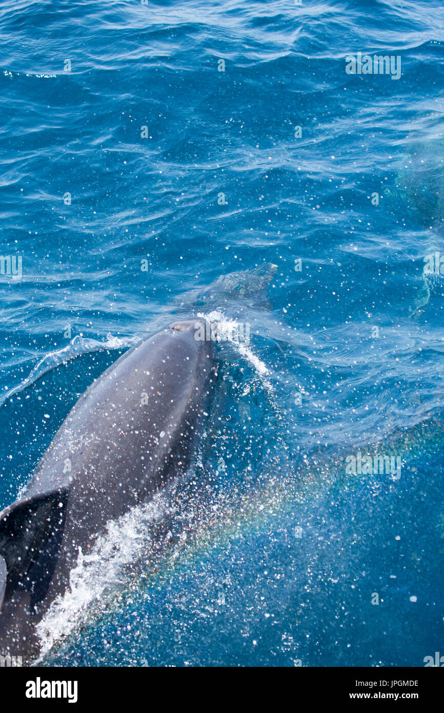 Common Bottlenose Dolphin (Tursiops truncates) surfacing to breathe next to the dolphin watching boat in the Strait of Gibraltar, creating a 'rainbow' - Stock Image