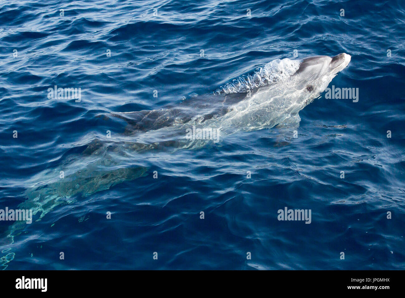 Common Bottlenose Dolphin (Tursiops truncates) blowing bubbles while surfacing to breathe in the Strait of Gibraltar - Stock Image