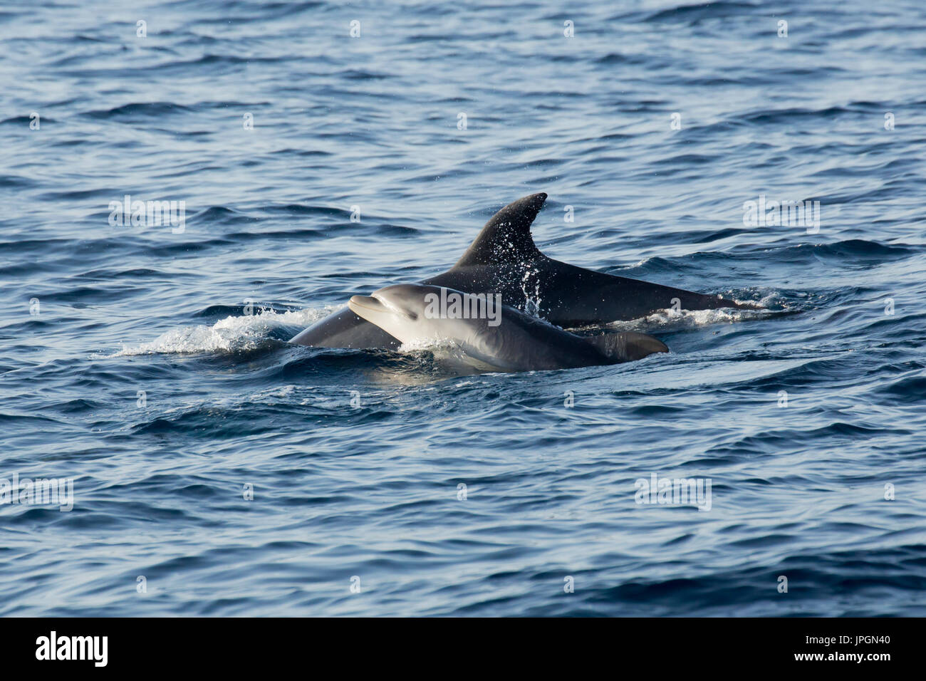 Common Bottlenose Dolphin (Tursiops truncates) mother and baby surfacing in the Strait of Gibraltar - Stock Image