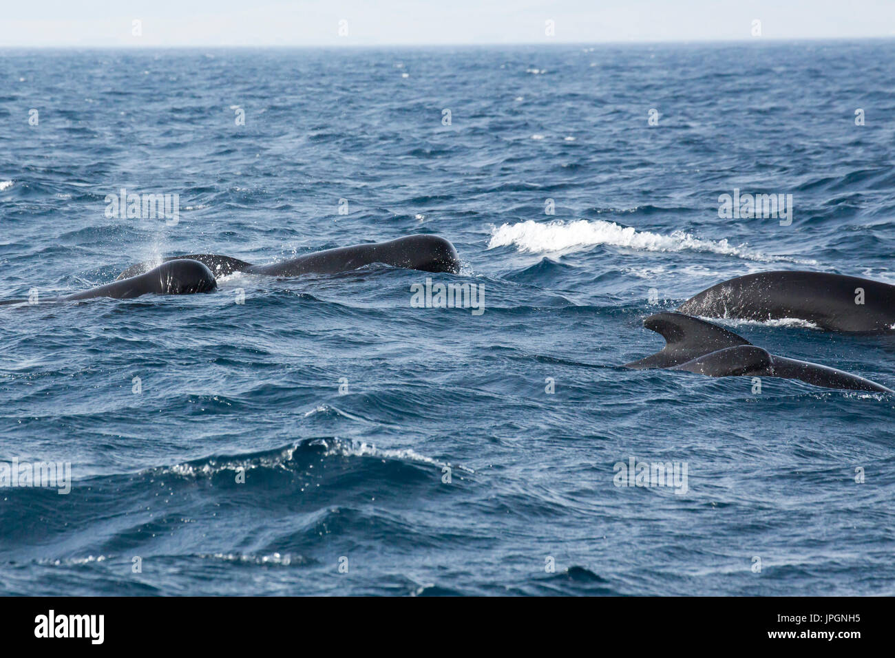 Long-finned Pilot Whales (Globicephala melas), a type of large dolphin, surfacing - Stock Image