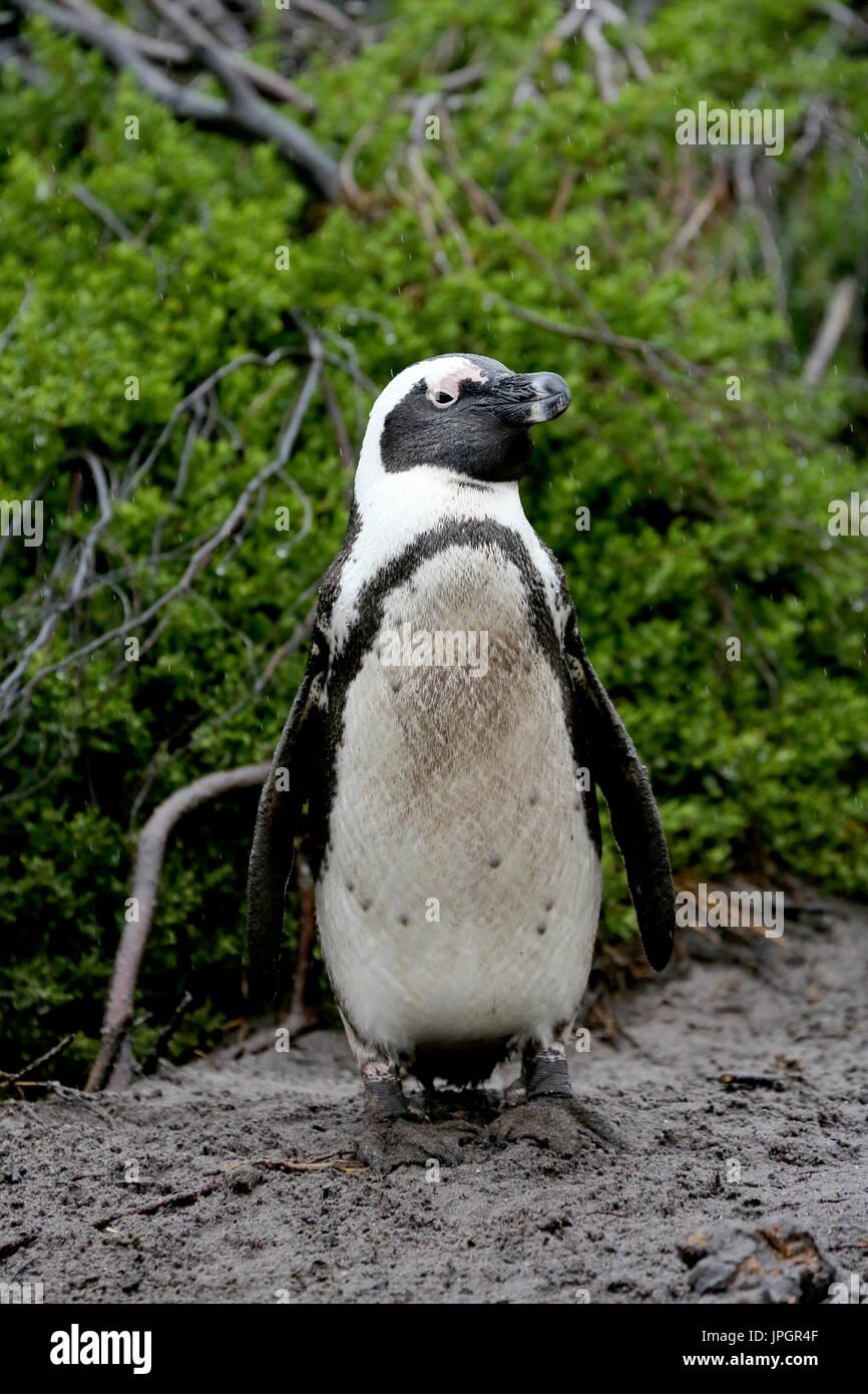 Jackass Penguin Stock Photos & Jackass Penguin Stock Images - Alamy