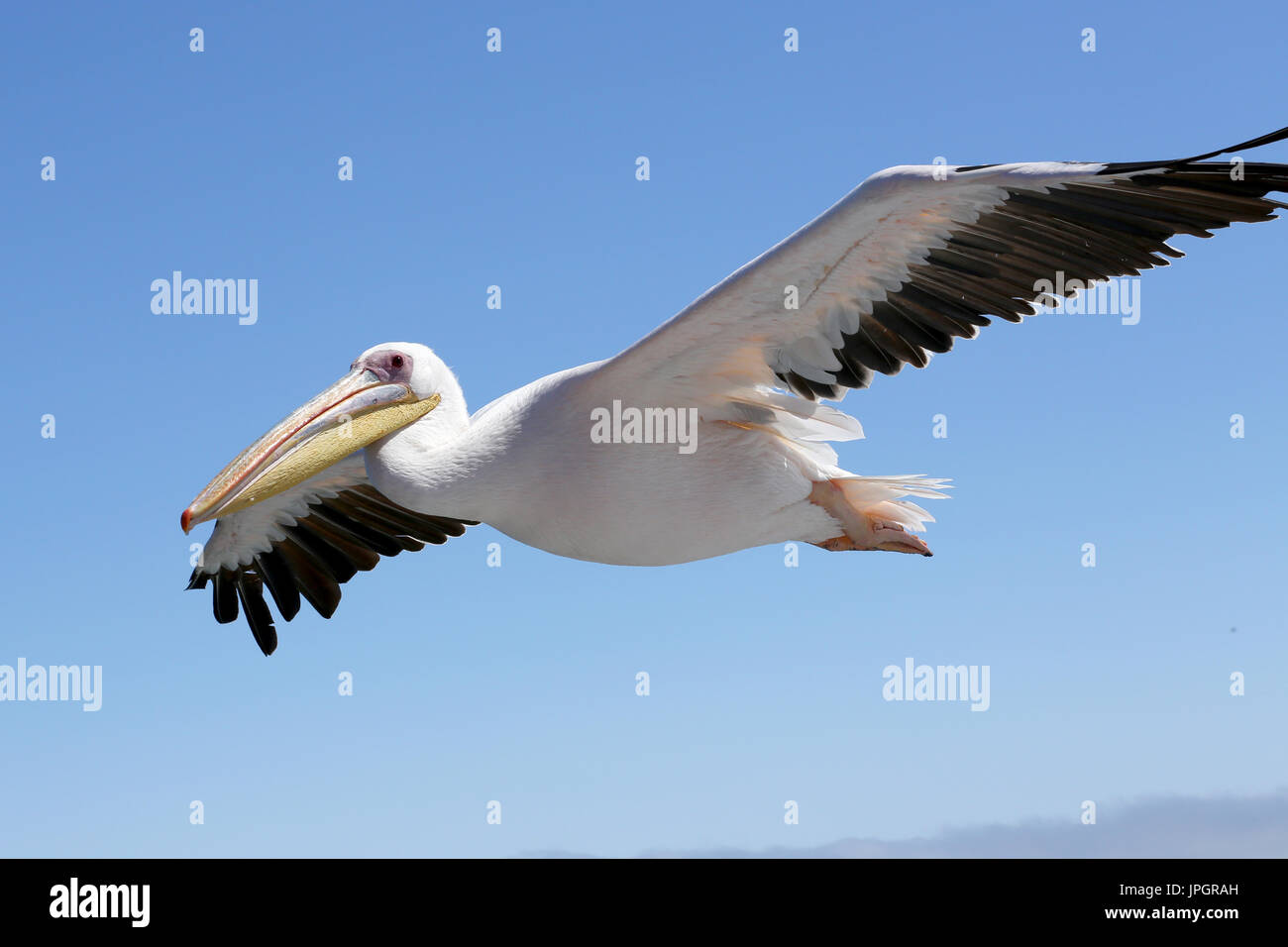Great White Pelicans (Pelecanus onocrotalus) flying over a dolphin watching boat, hoping to get fed with fish. - Stock Image