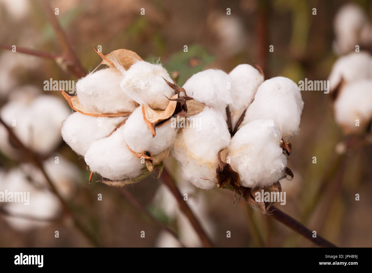 Cotton Bolls in a Louisiana Field - Stock Image