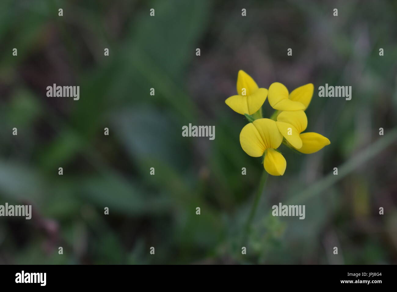 Yellow flower in nature on blurred background - Stock Image