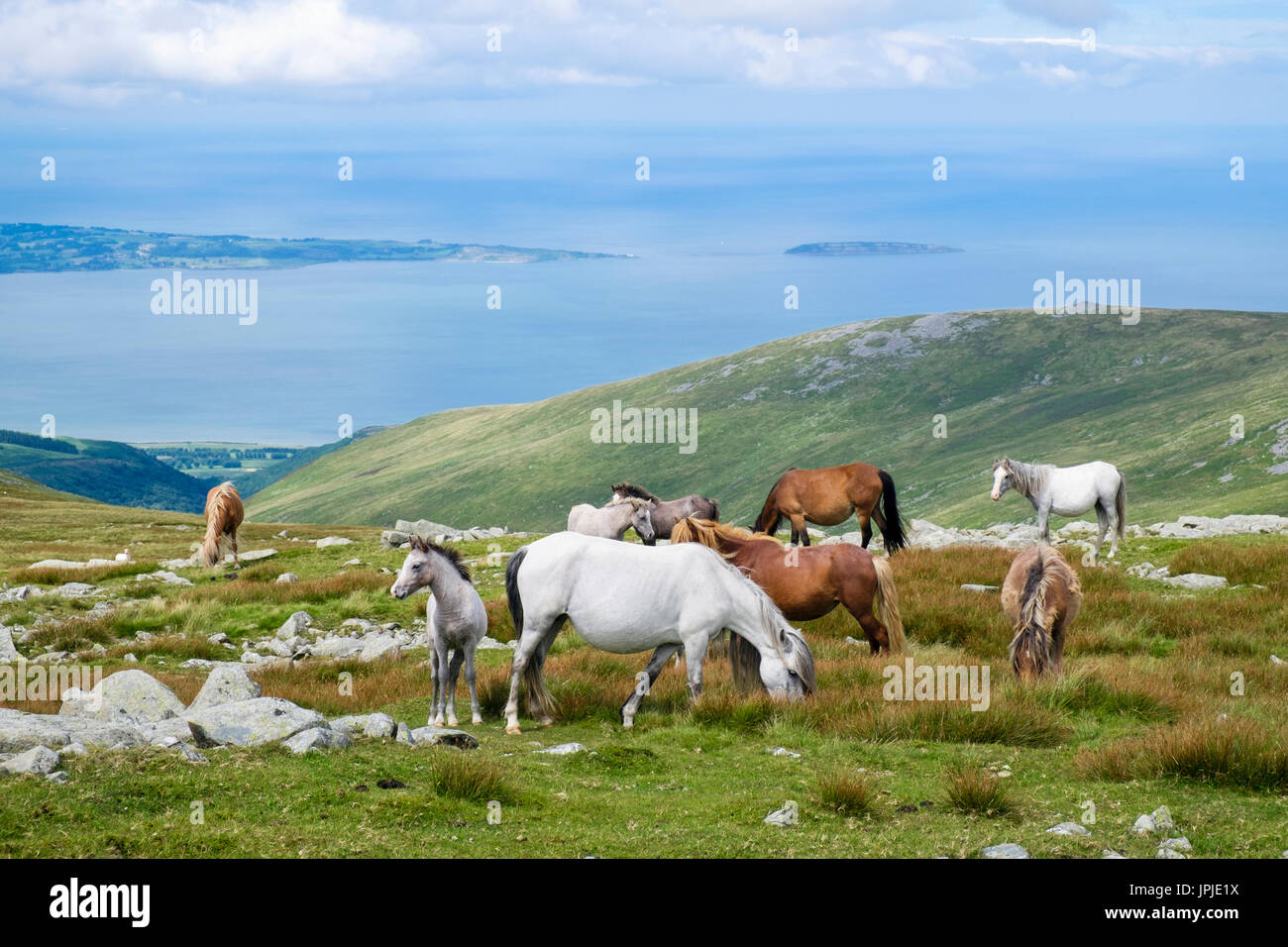 Semi-feral Welsh Mountain Ponies and foals on slopes of Garnedd Gwenllian in Carneddau mountains of Snowdonia National Park above North Wales coast UK - Stock Image