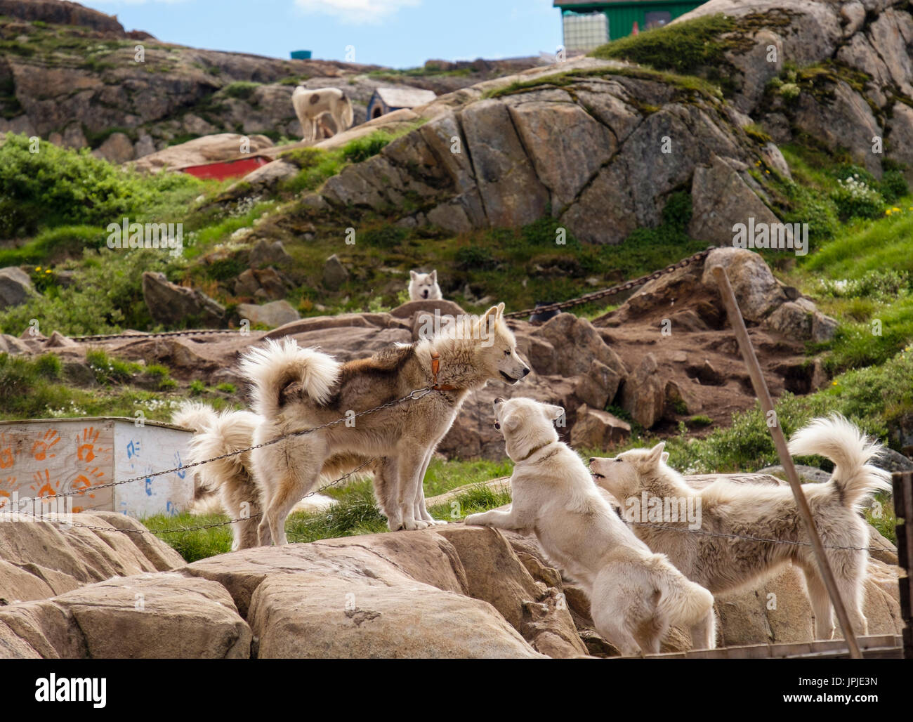Greenlandic Huskies (Canis lupus familiaris borealis) interacting whilst chained up outside in summer. Sisimiut Stock Photo
