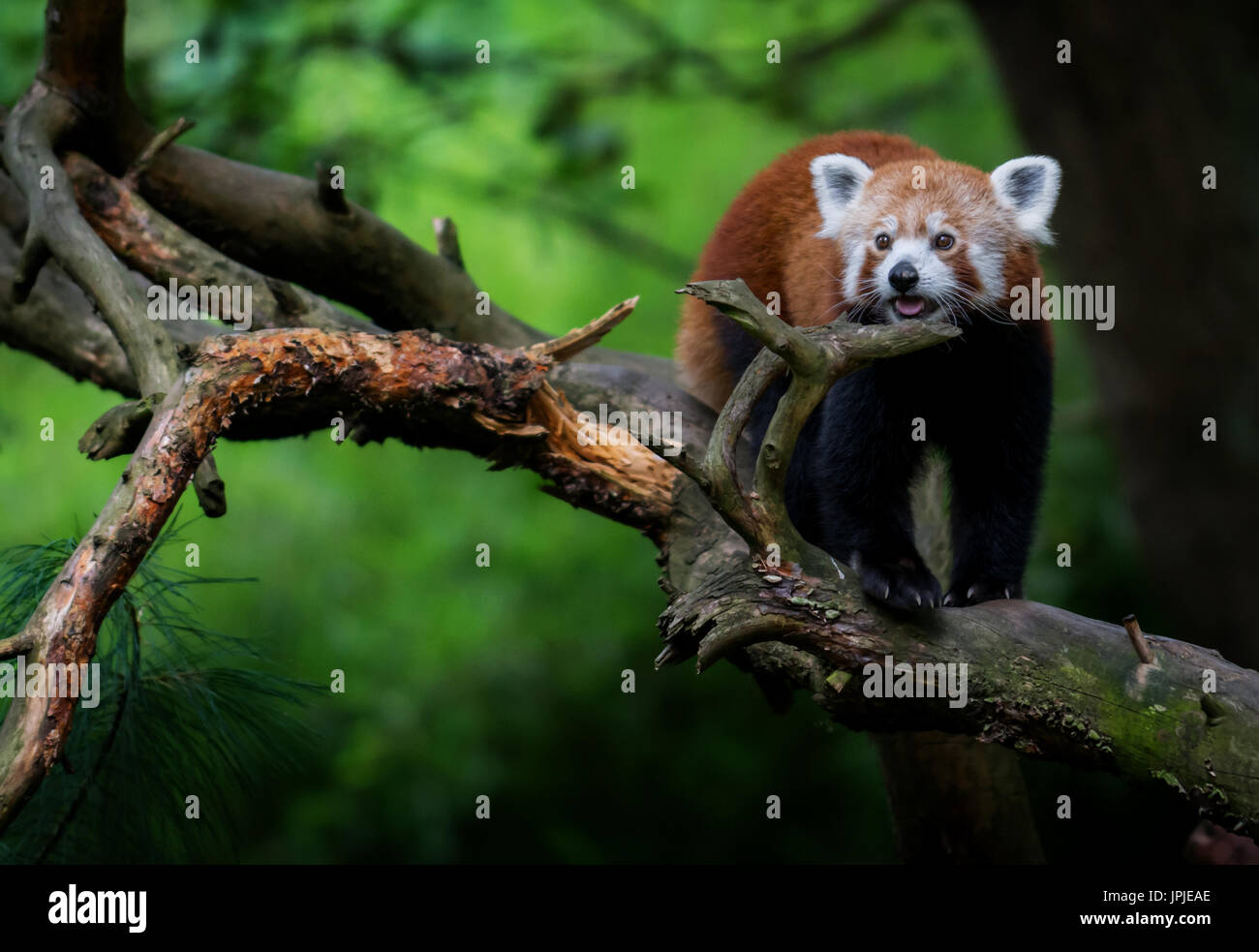 Nice red panda (Ailurus fulgens) on tree Stock Photo