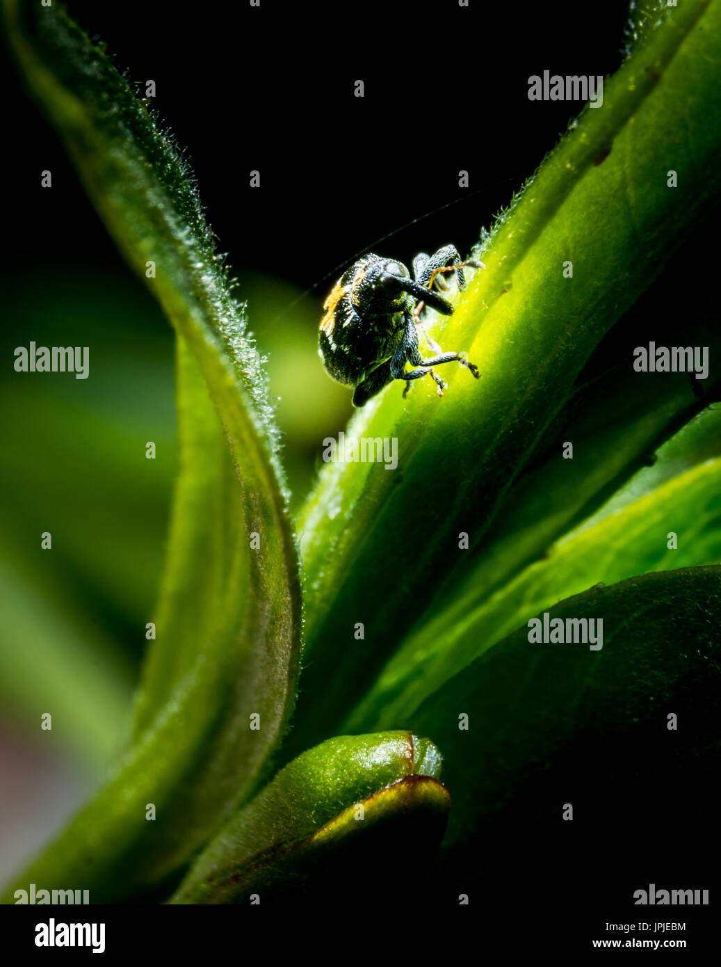 Litlle bug (Ceutorhynchus obstrictuson) on green grass in forest macro photo - Stock Image