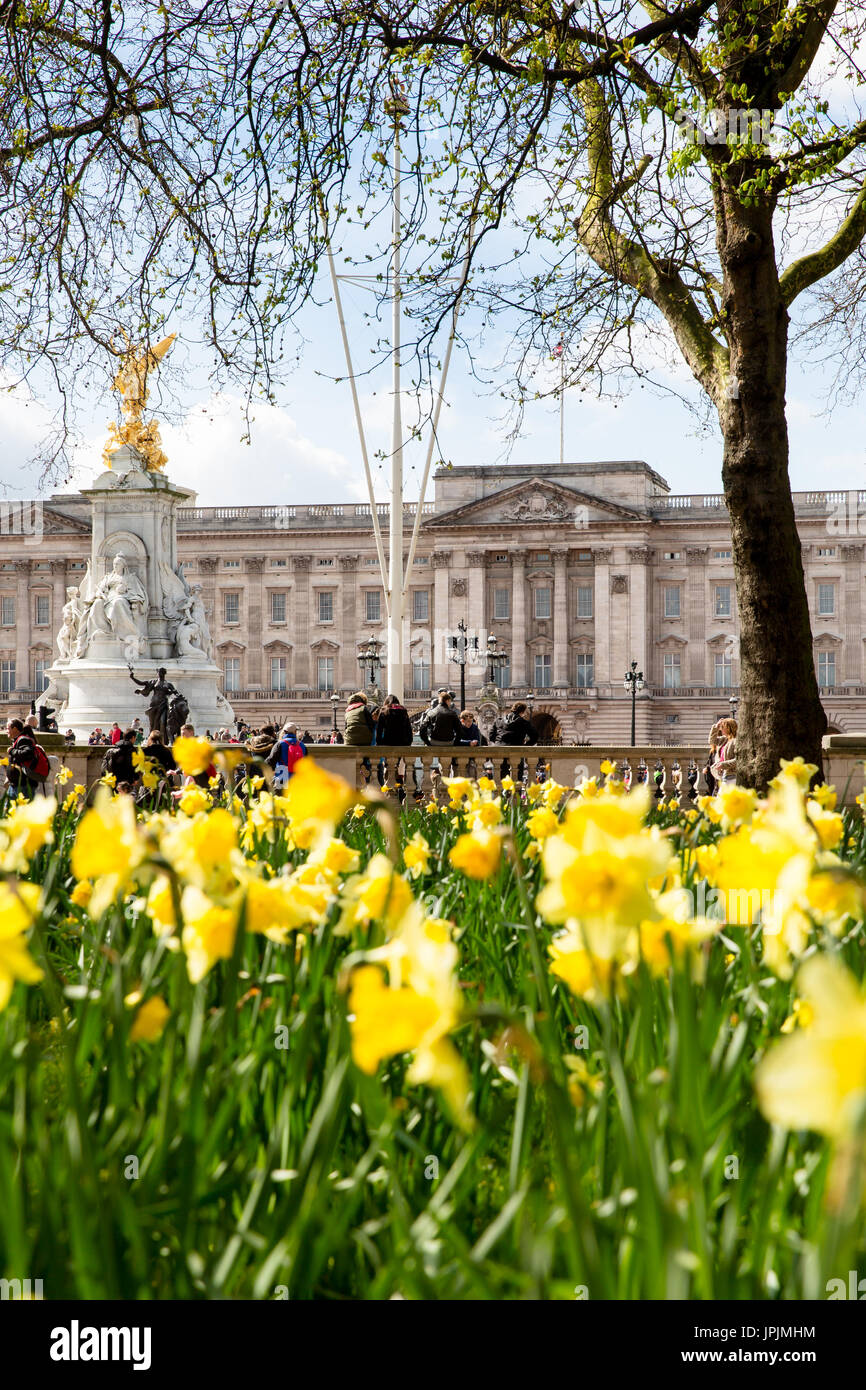 Daffodils in front of Buckingham Palace - Stock Image