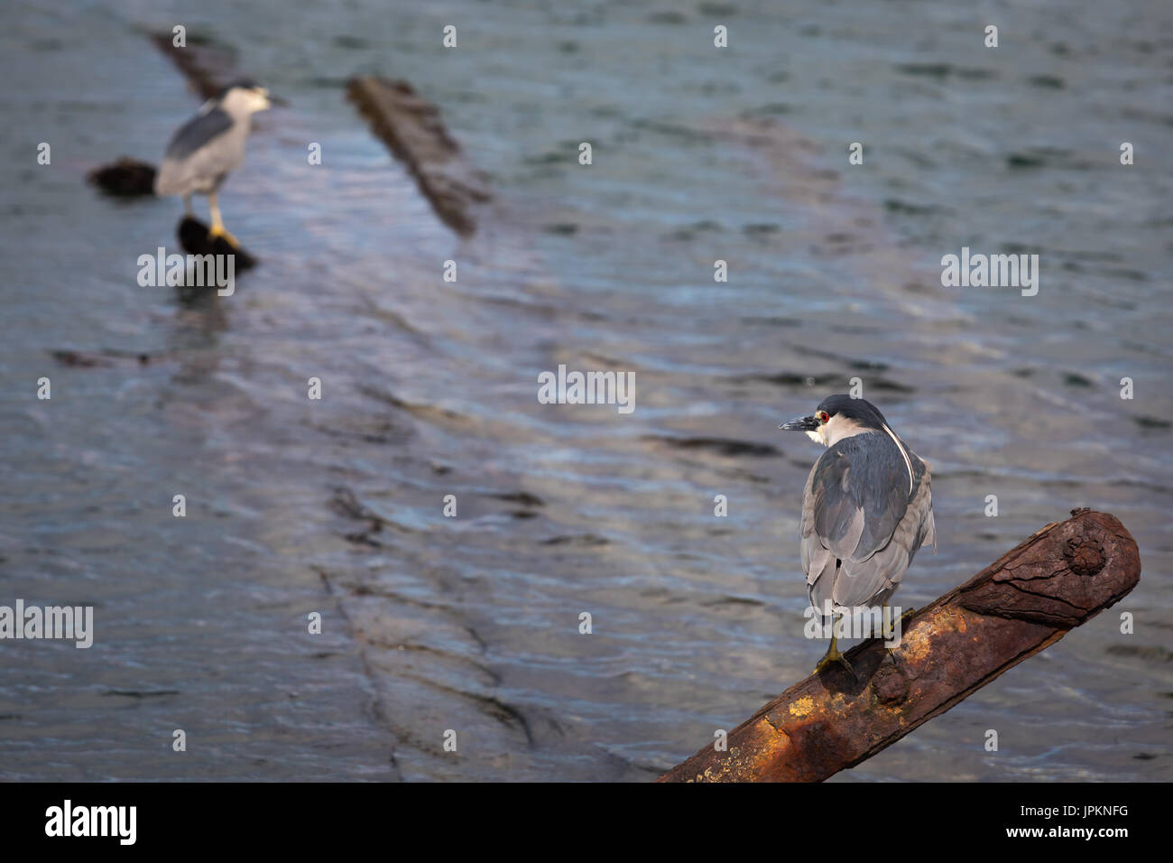 Black-crowned nicht heron on the shore near Goose Green - Stock Image