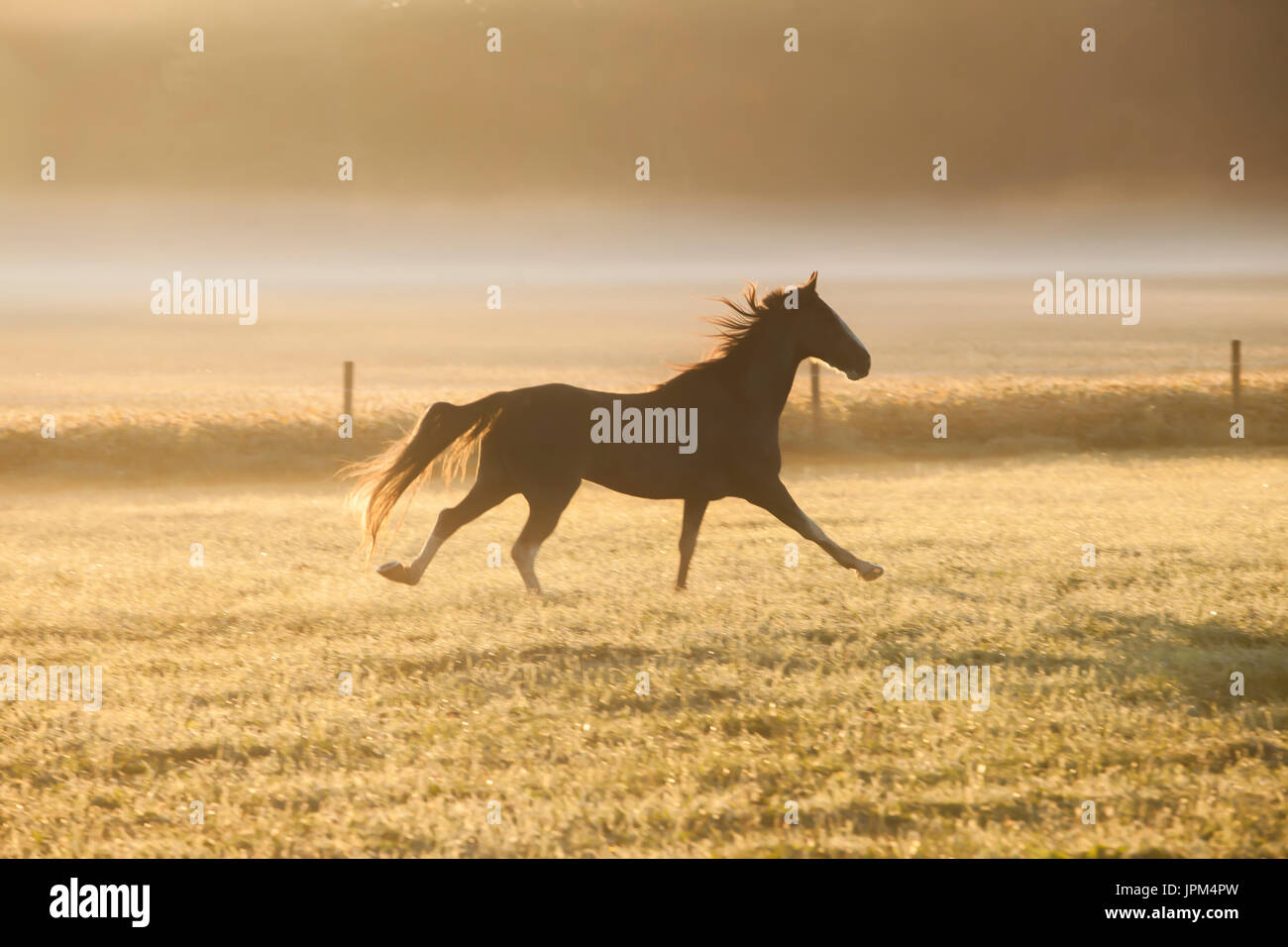 Paso Fino turn out in pasture - Stock Image