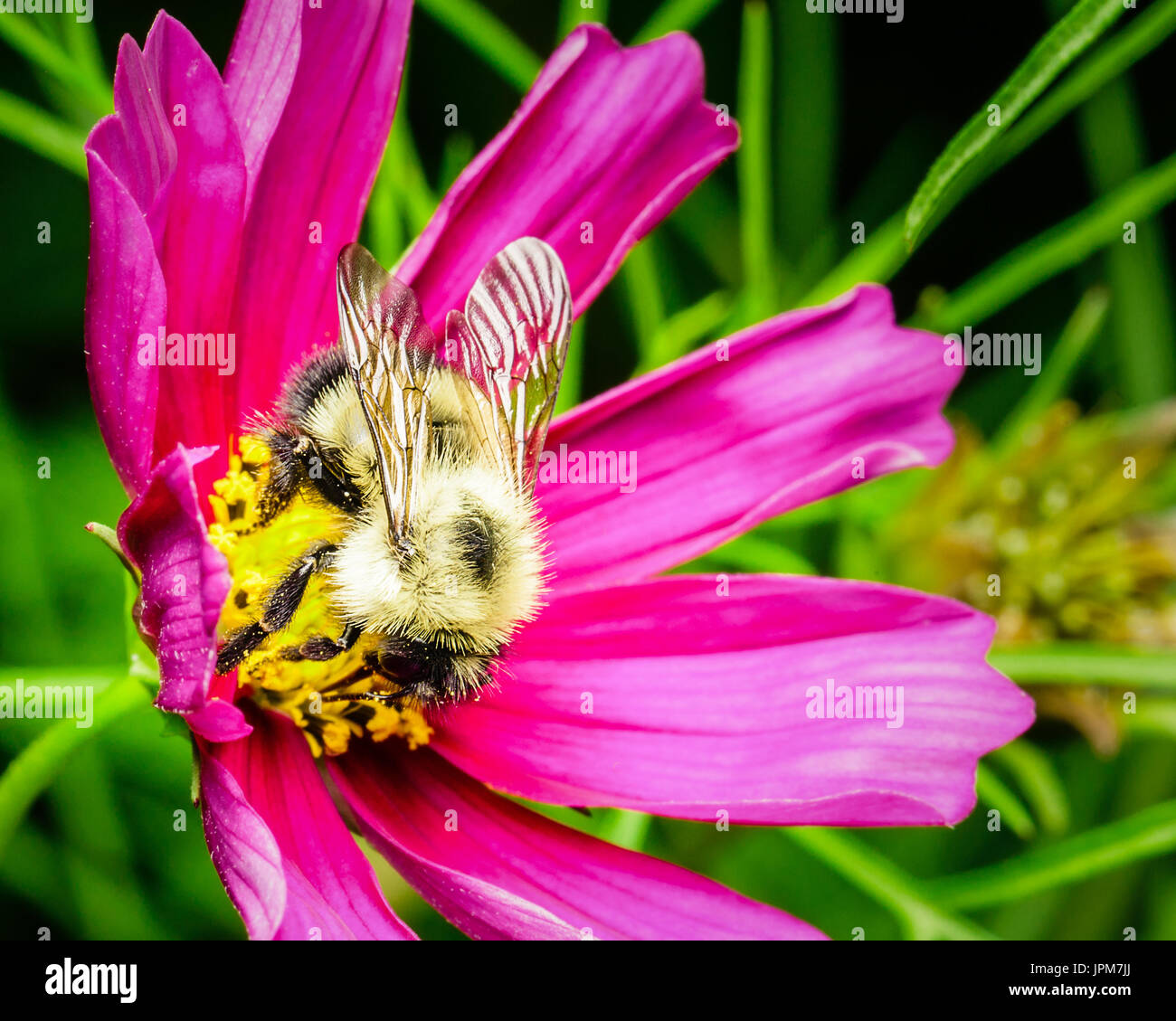 A yellow furry honey bee collecting nectar from the yellow bud of a purple flower in my backyard garden.   The bee Stock Photo