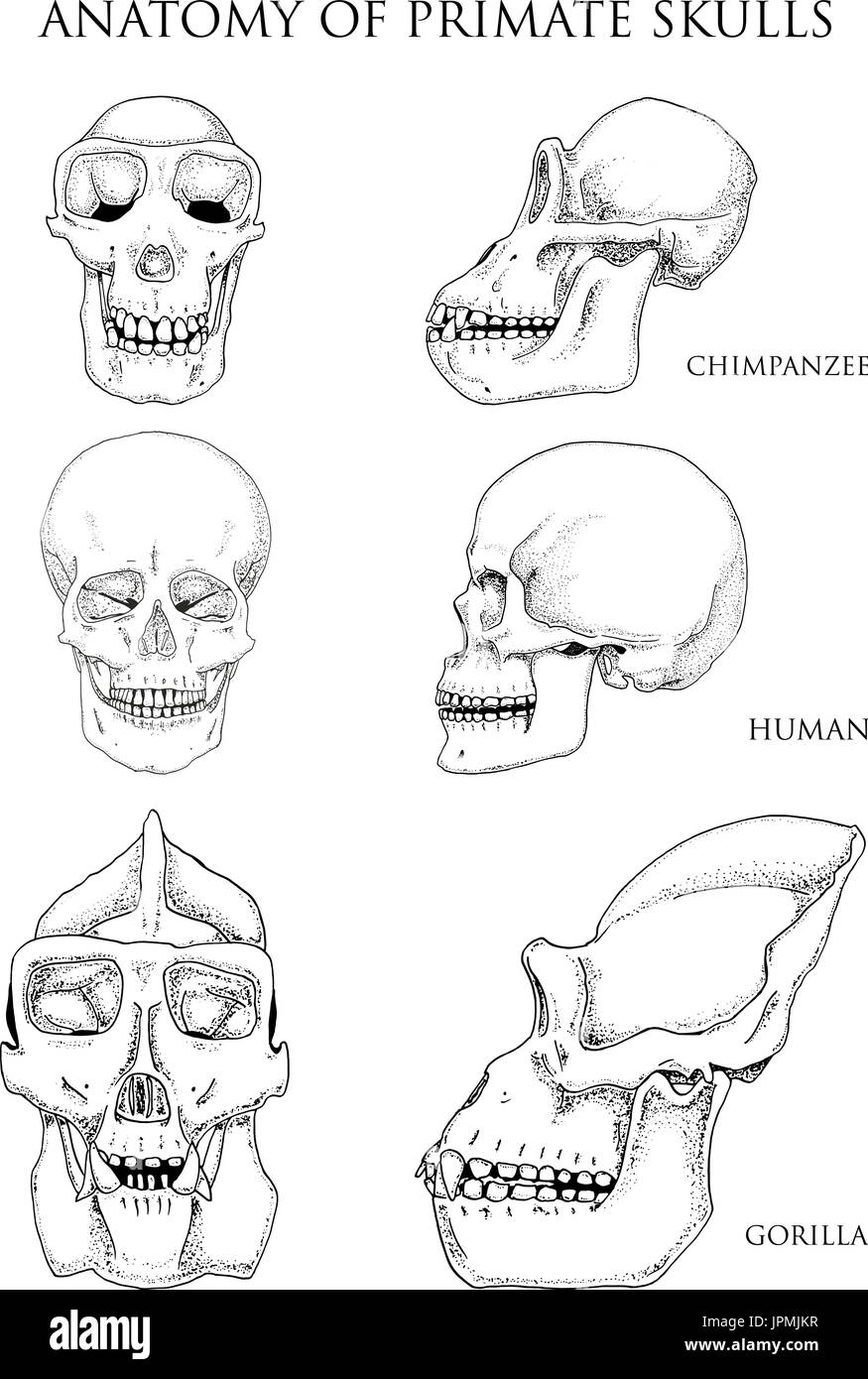 Human and chimpanzee, gorilla. biology and anatomy illustration ...