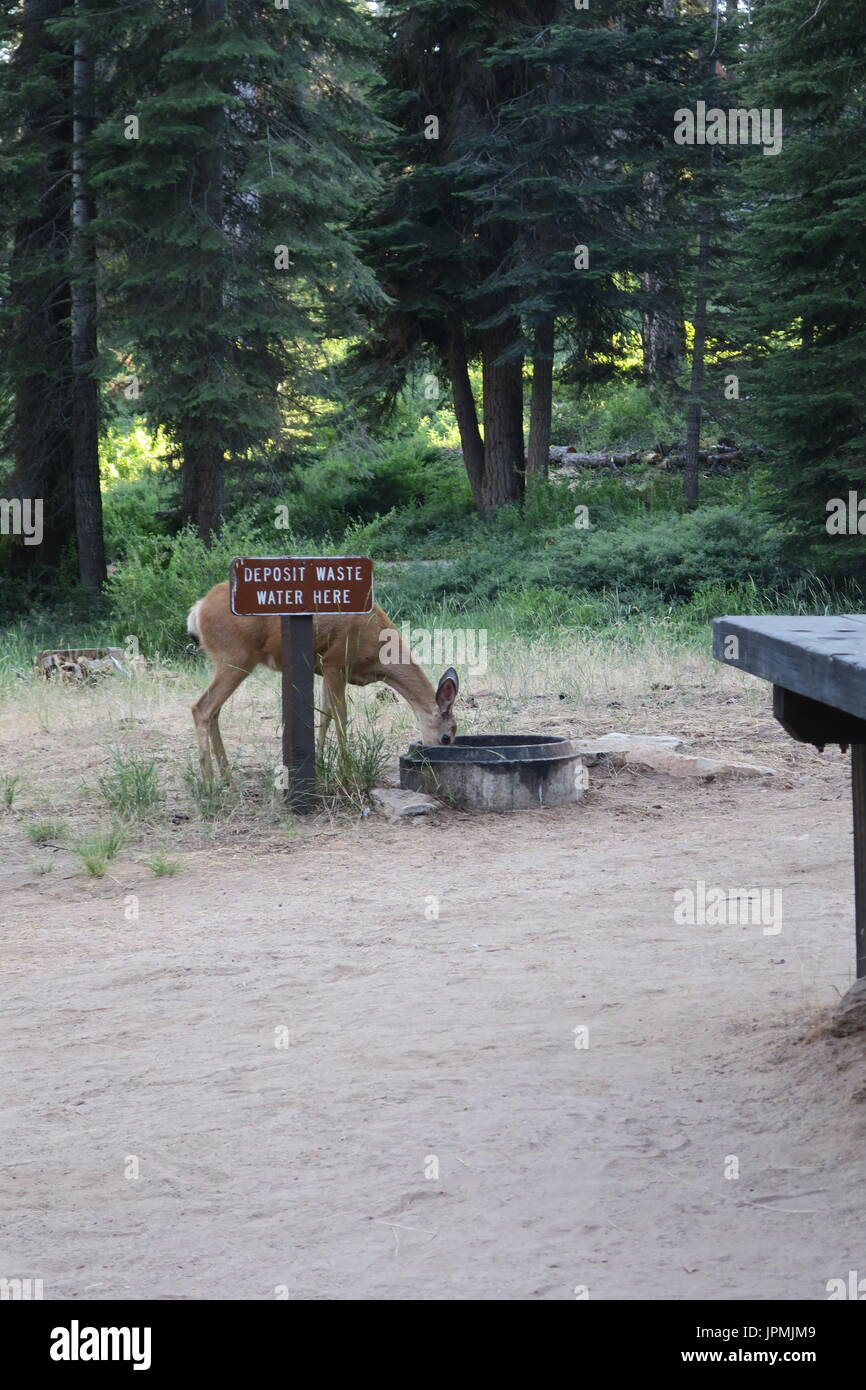 Mule deer at campground waste water dumping site, Sequoia National Monument, California, United States - Stock Image