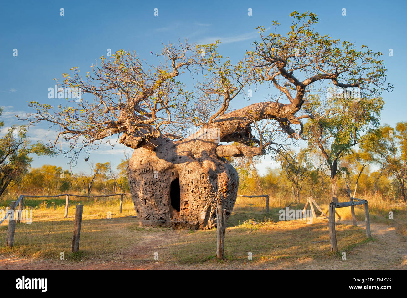Historical Boab Prison Tree in Derby. - Stock Image