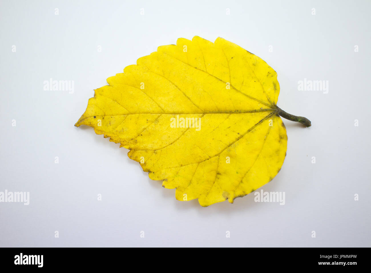 Close Up Disease Leaf Of Chinese Hibiscus Flower Isolated Stock