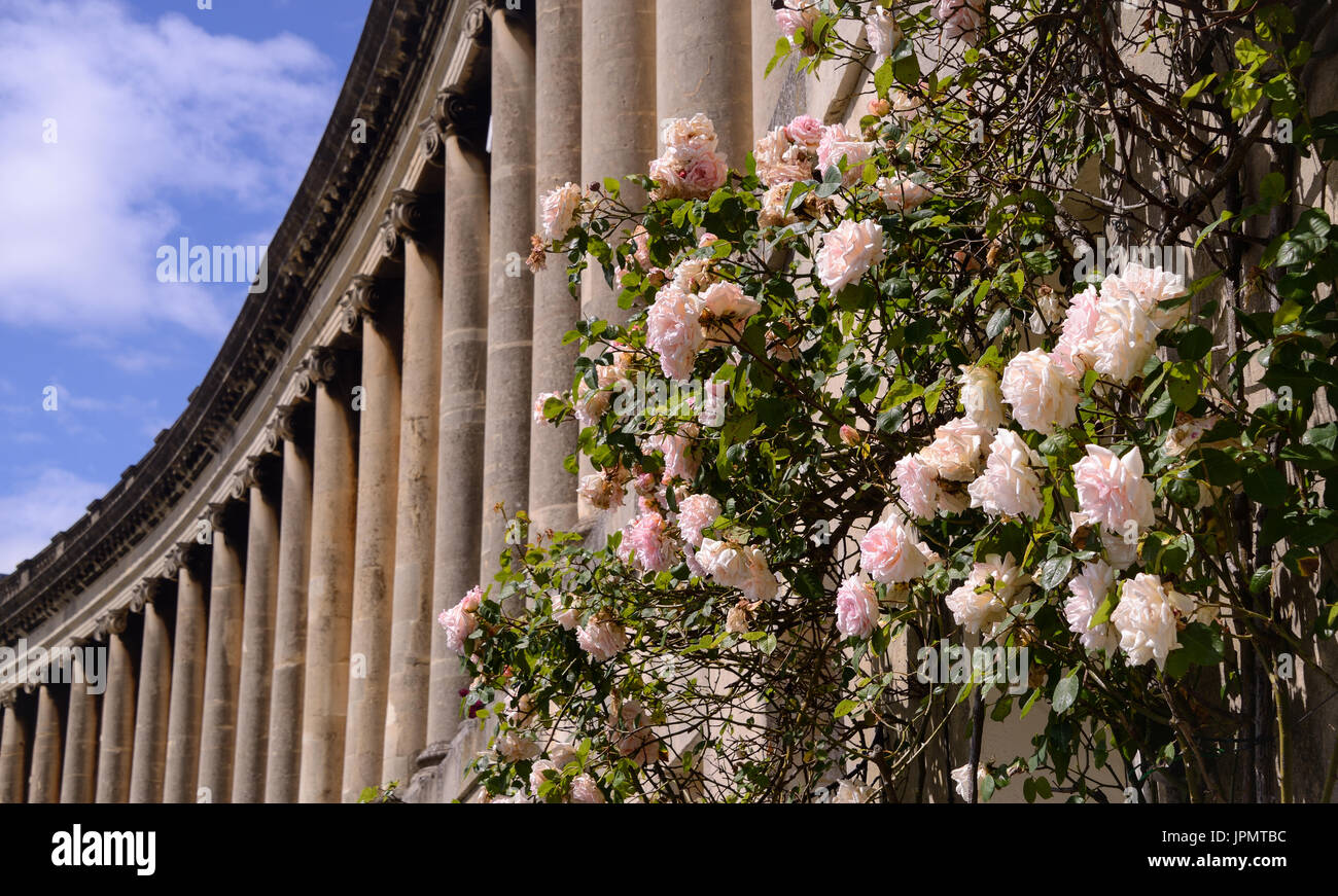 Some British roses at the end of their bloom with some of the pillars in the Royal Cresent in Bath in the background. - Stock Image