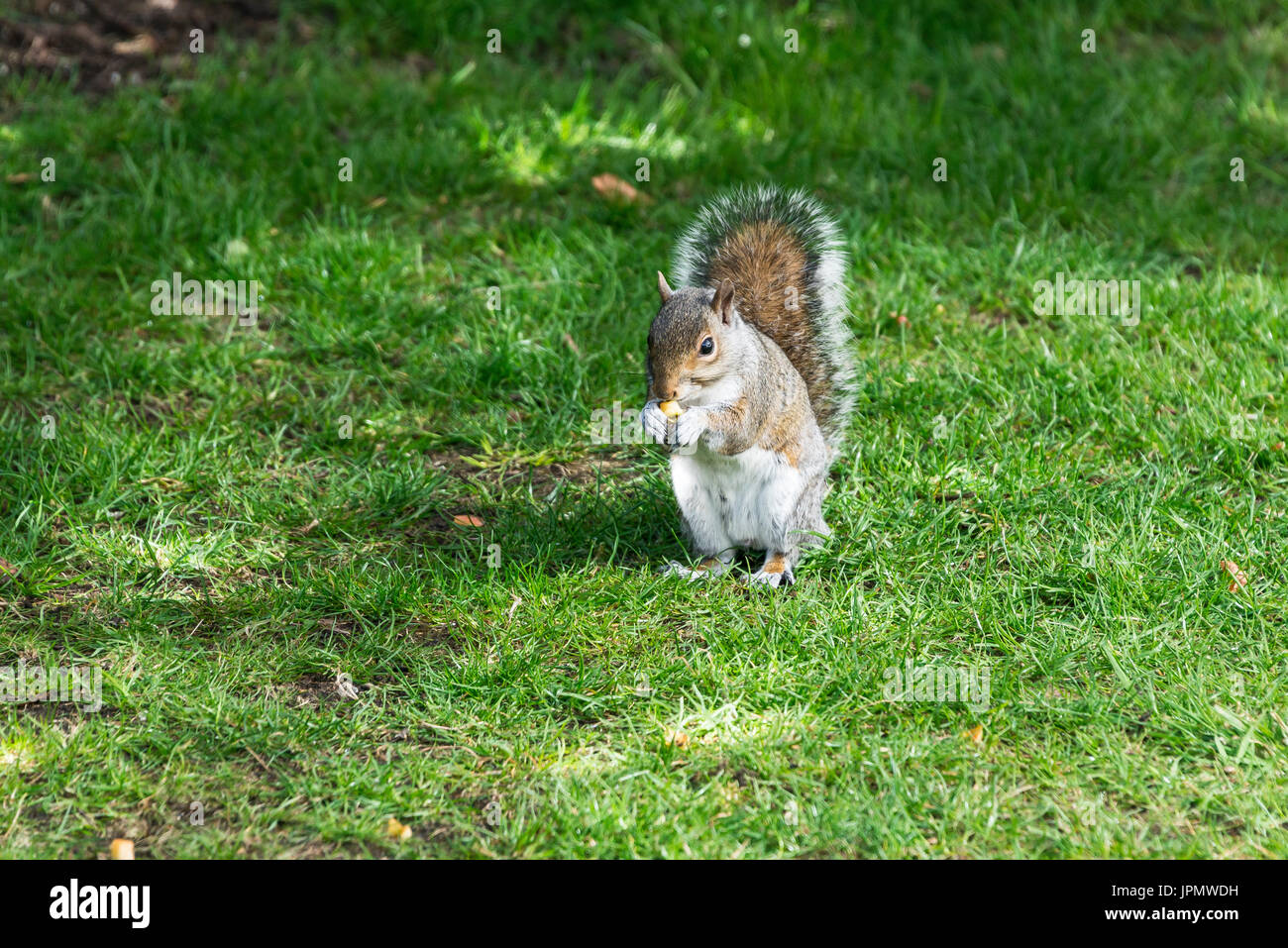 A grey squirrel (Sciurus carolinensis) feeding in a garden - Stock Image