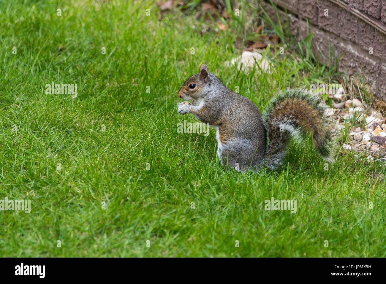 A grey squirrel (Sciurus carolinensis) feeding in a garden - Stock Image