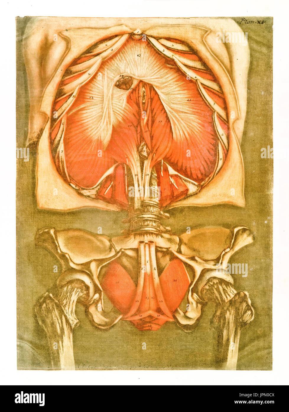 Human Anatomy Engraving Vintage Stock Photos & Human Anatomy ...