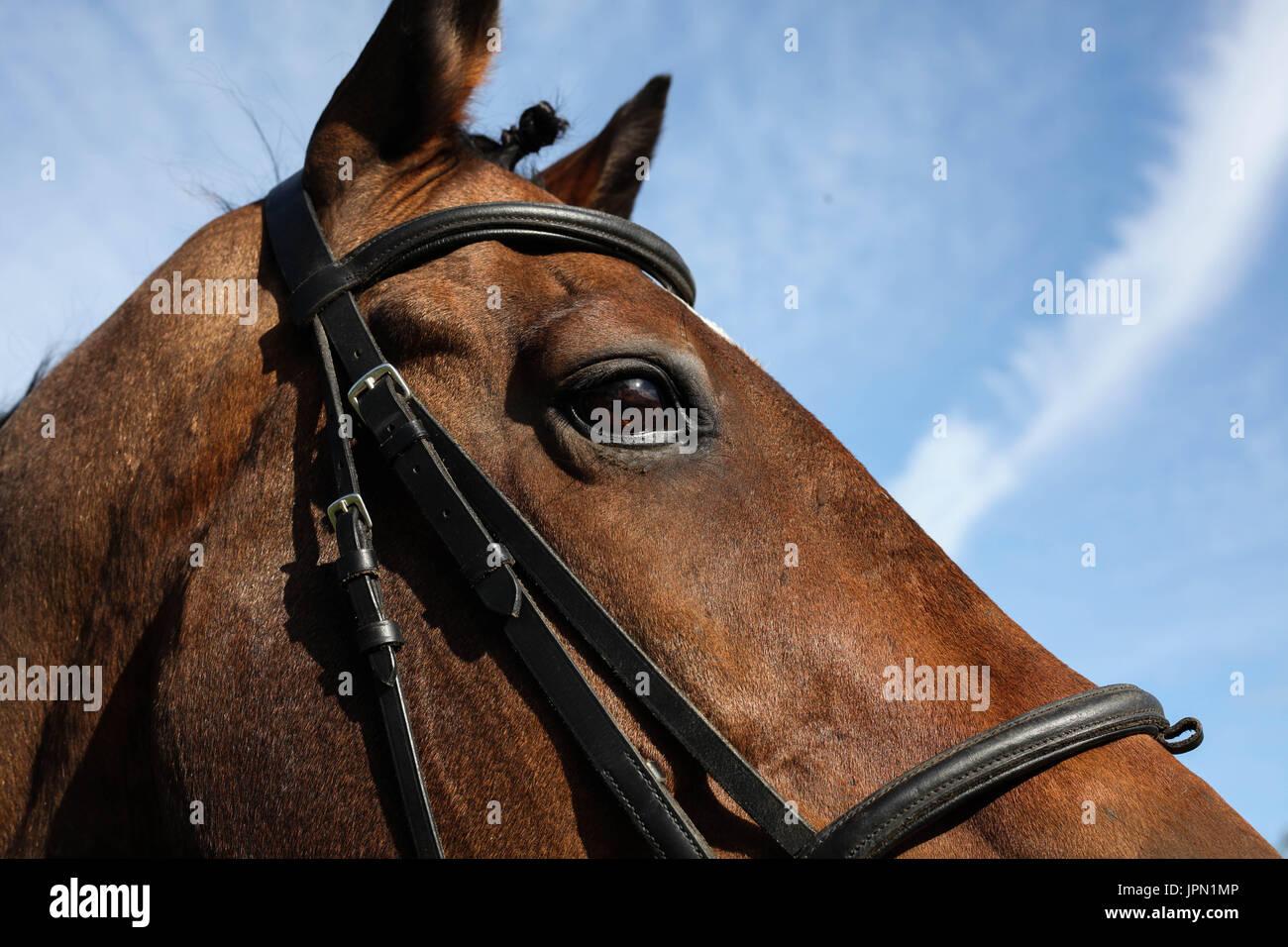 Equus ferus caballus Thoroughbred Ex racing Gelding Horse - Stock Image