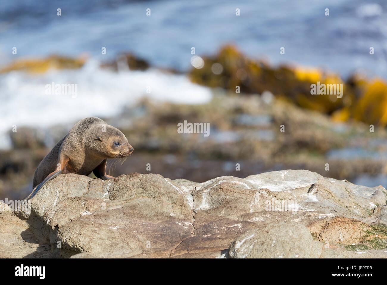 New Zealand Fur Seals or Kekeno at New Zealand Asia Pacific - Stock Image