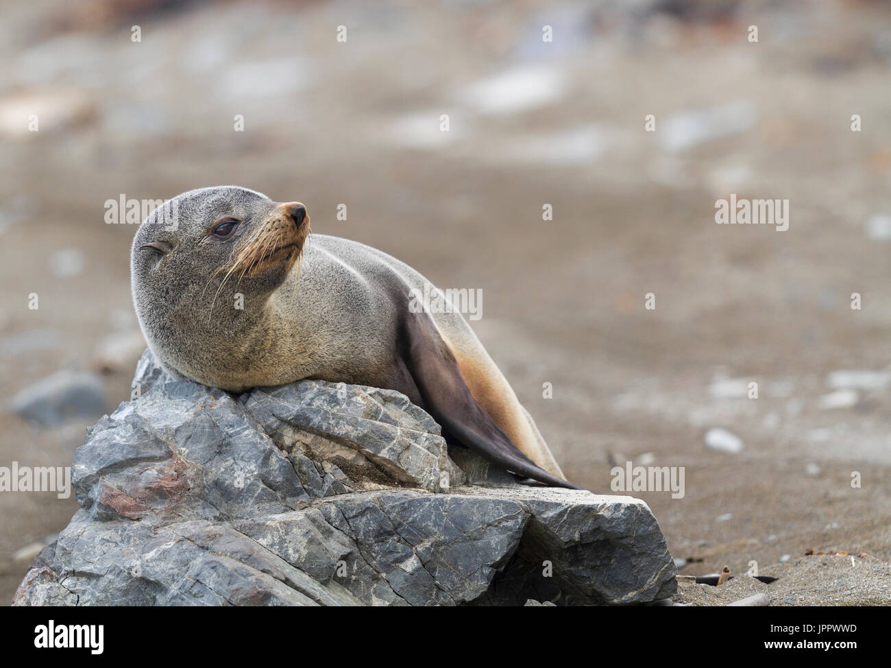 New Zealand Fur Seal (Arctocephalus forsteri) or Southern Fur seals  or Kekeno in New Zealand - Stock Image