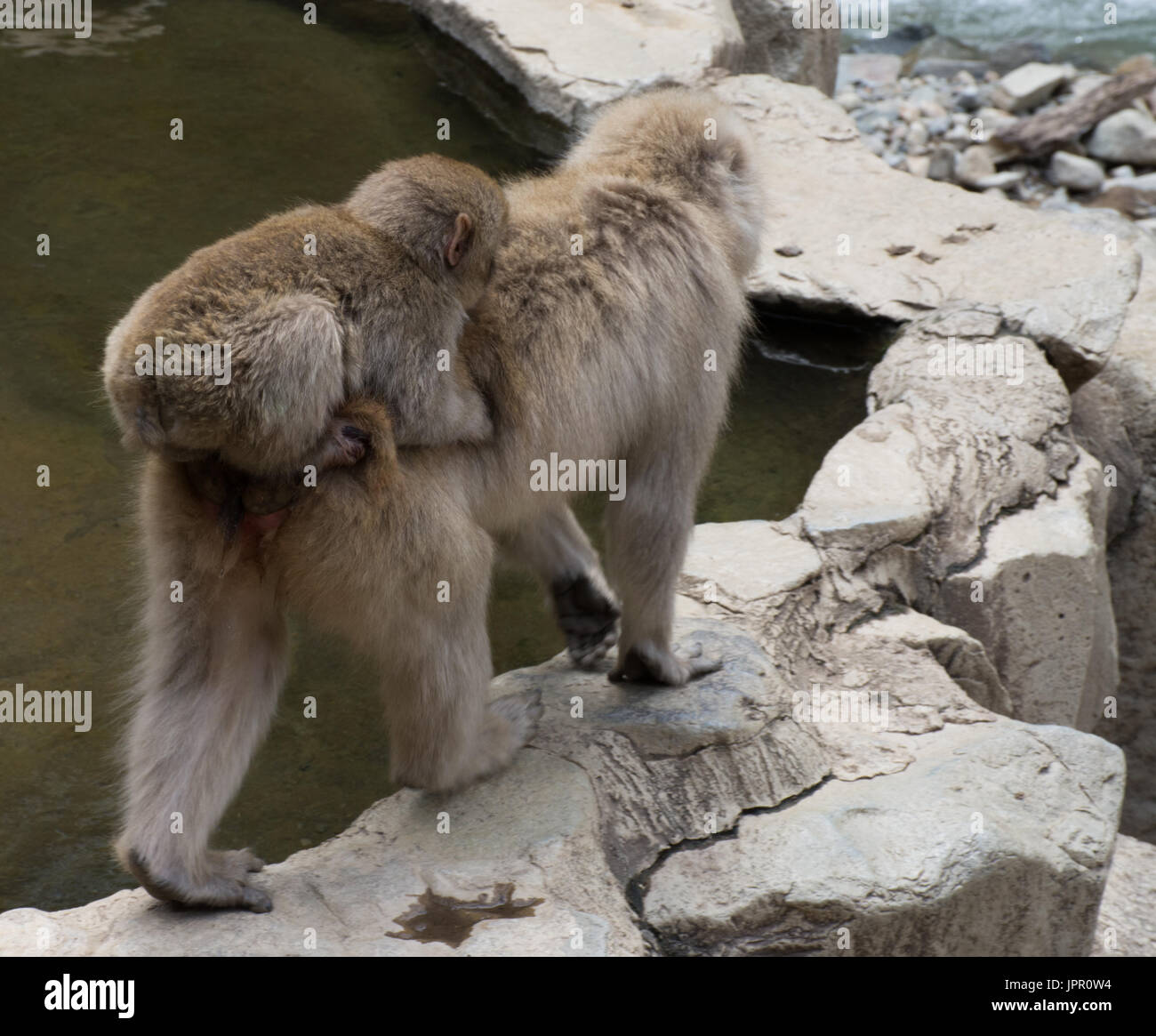 Close up of a baby snow monkey riding on its Japanese macaque mother's back at the edge of a hot spring. - Stock Image