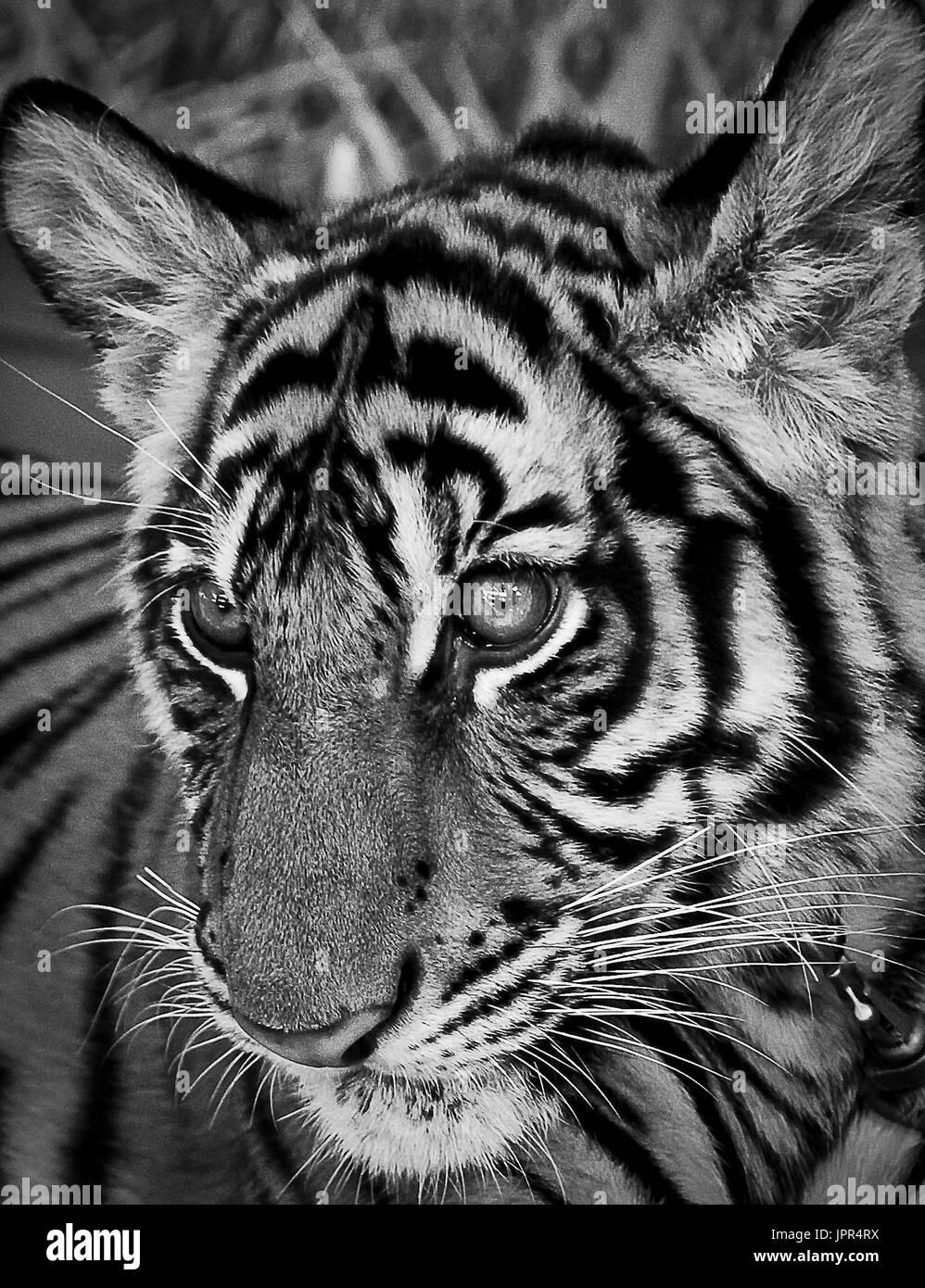 tiger - Stock Image