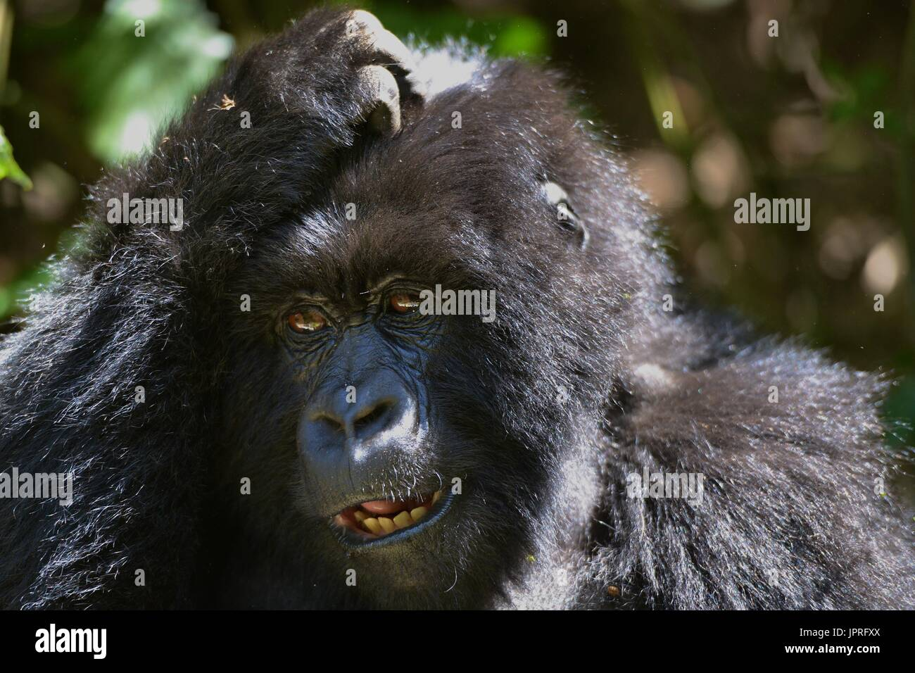 Silverback gorillas and family in the Virunga Mountains of Northern Rwanda, Africa. - Stock Image