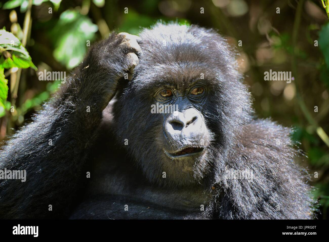 One of the Agashya Family members in the Volcano Mountains of Northern Rwanda. Stock Photo