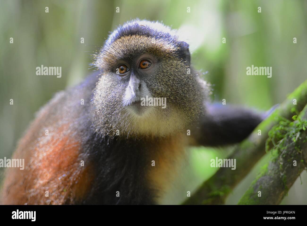 Golden monkeys living in the Virunga Mountains of Northern Rwanda. - Stock Image