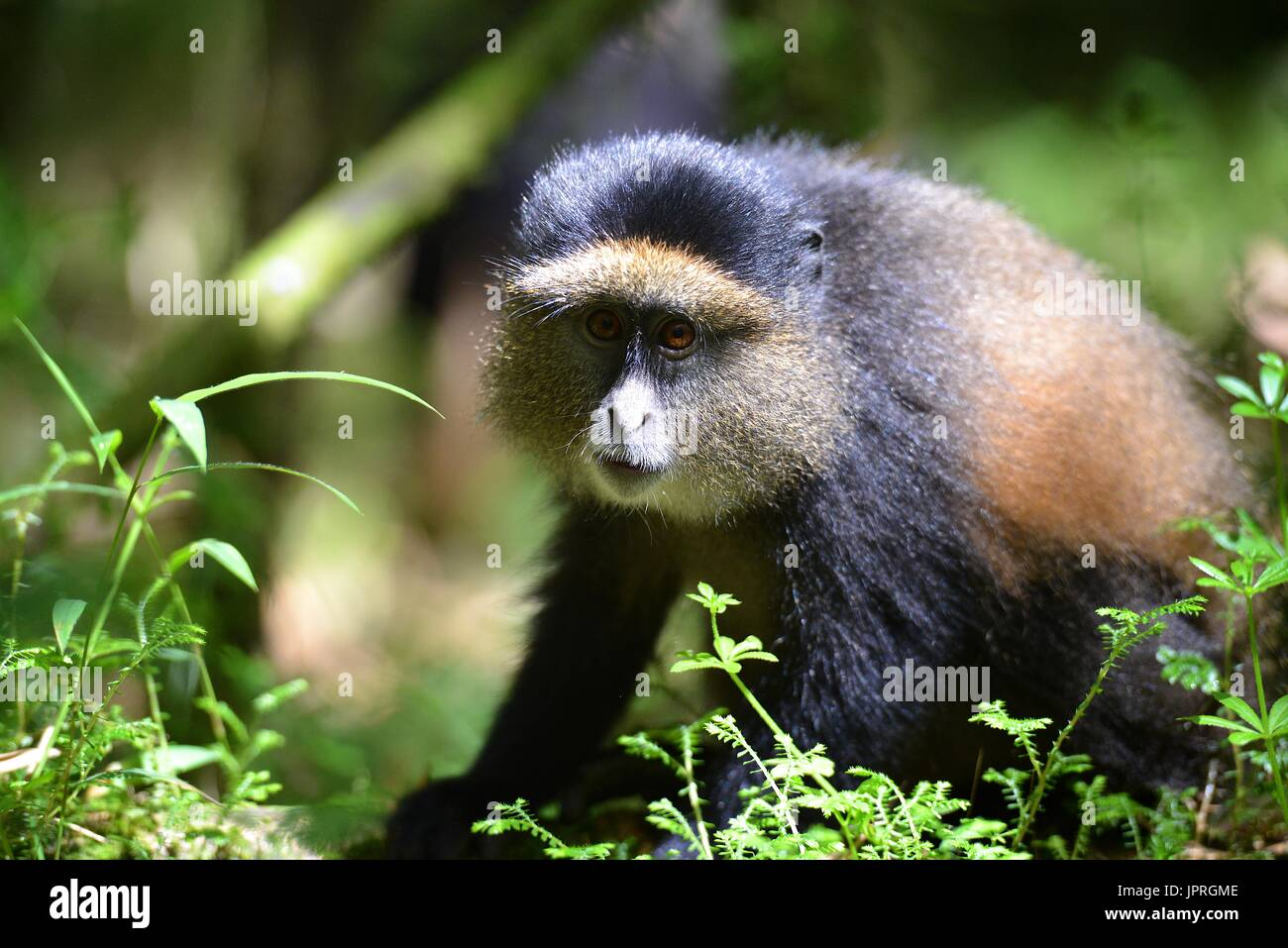 Golden monkeys living in the Virunga Mountains of Northern Rwanda. - Stock Image