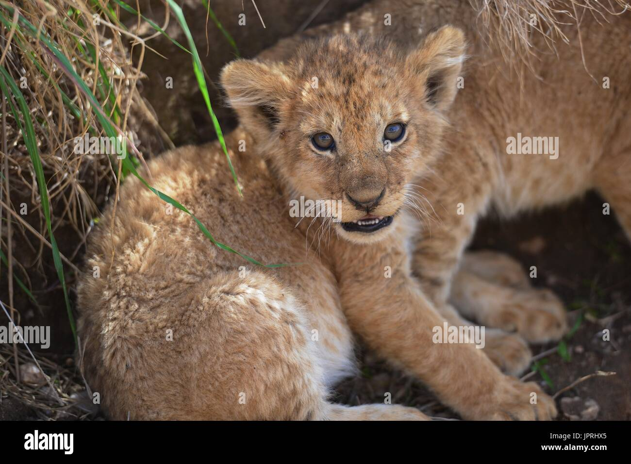 Lion cubs in the Serengeti National Park - Stock Image