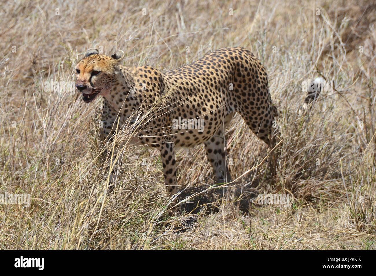 Cheetah roaming the savanna in the Serengeti National Park of Tanzania, Africa. Stock Photo